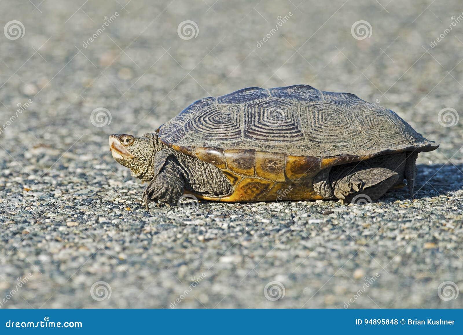 Diamondbacksumpsköldpadda