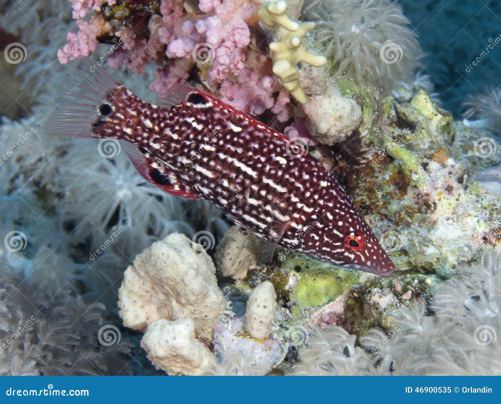 Bodianus diana Dianas Hogfish Fourspot Hogfish Indian
