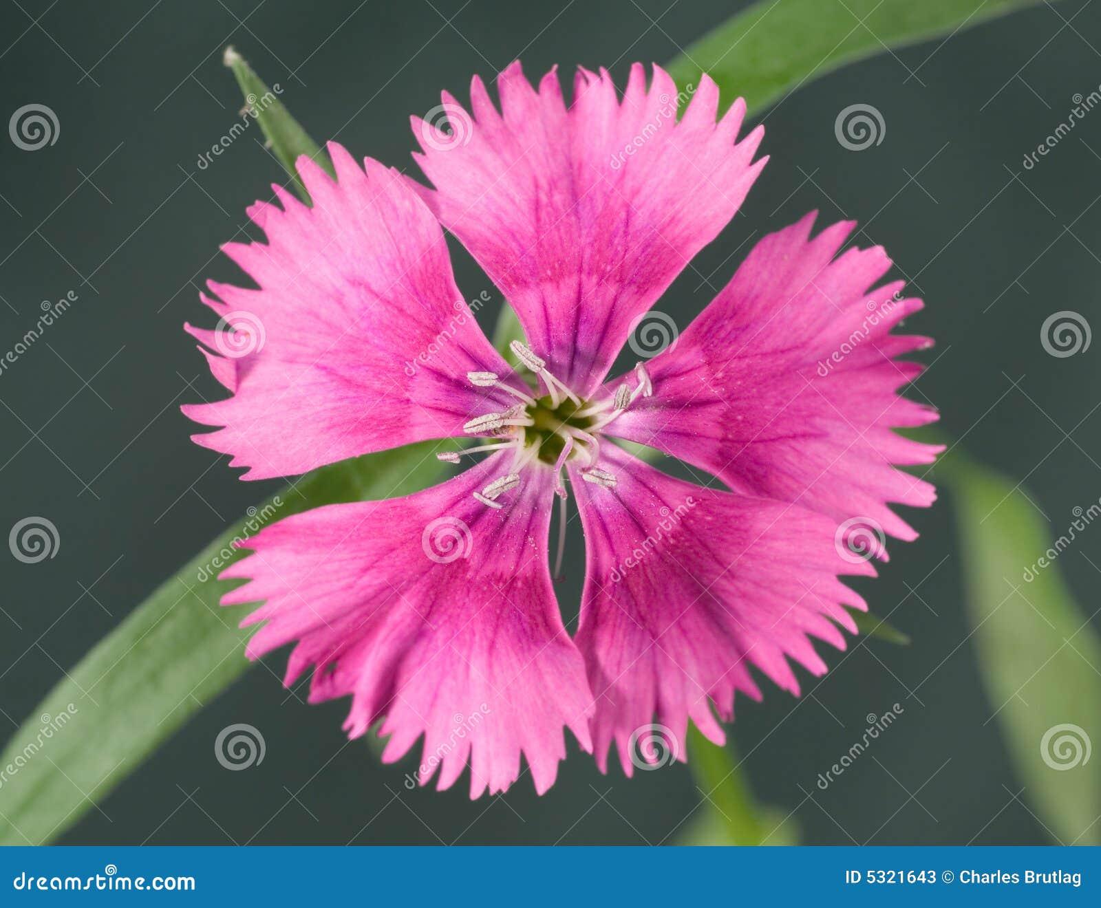 Download Dianthus immagine stock. Immagine di nessuno, selettivo - 5321643