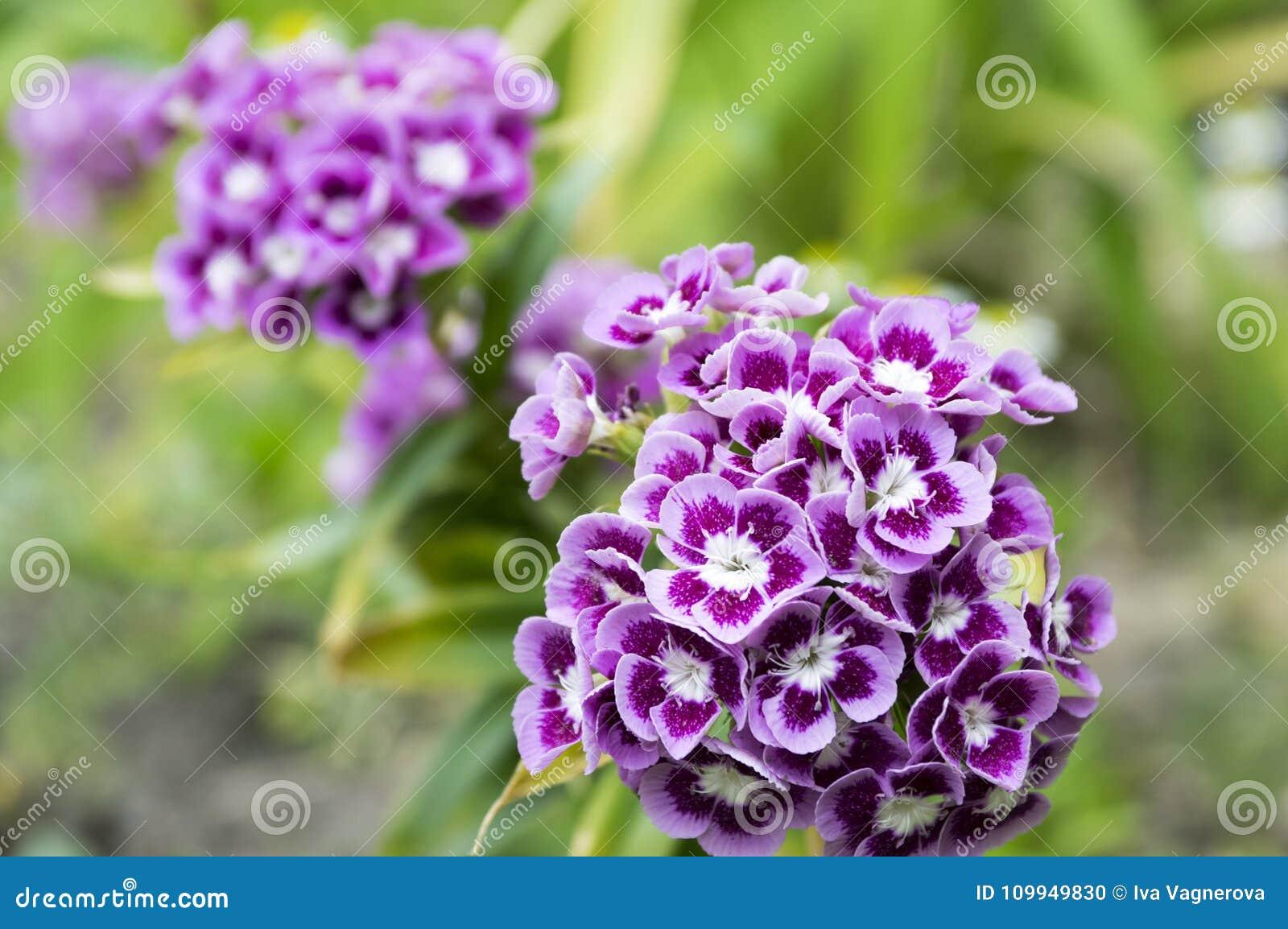 Dianthus Barbatus Summer Ornamental Flowers In Bloom Stock Photo