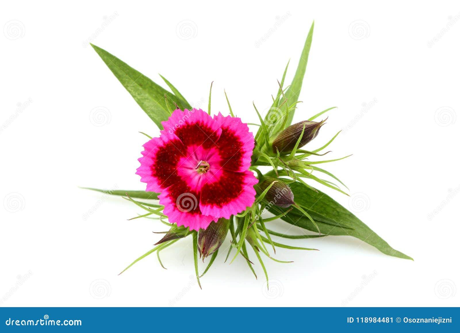 Dianthus Barbatus Sweet William Flower Isolated Stock Image