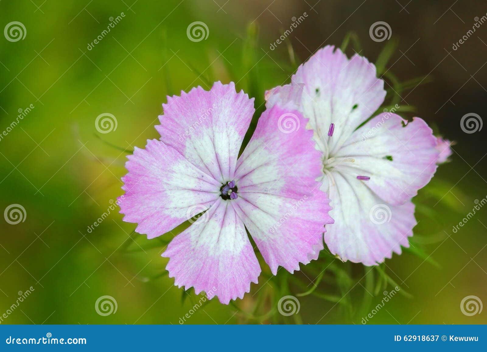 Dianthus Barbatus Sweet William Flower Stock Image Image Of Leaves