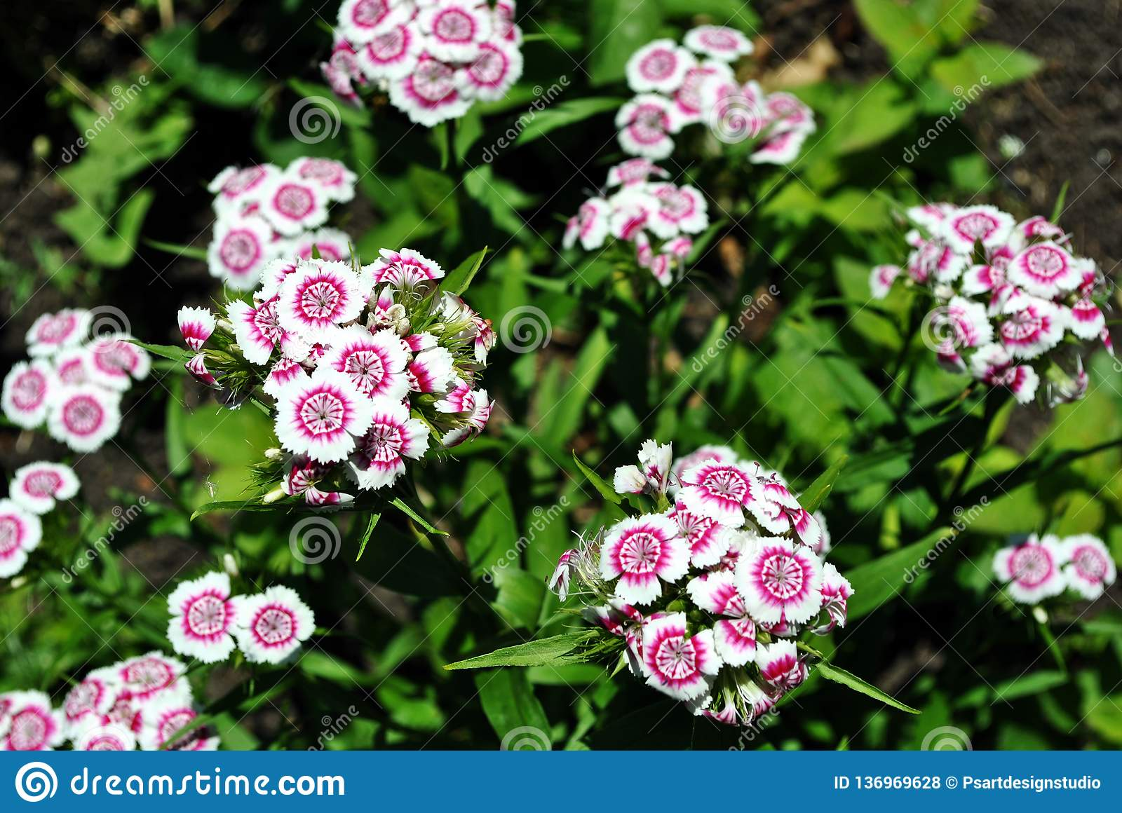Dianthus barbatus Sweet William flowers blooming on glade, top view, green soft background