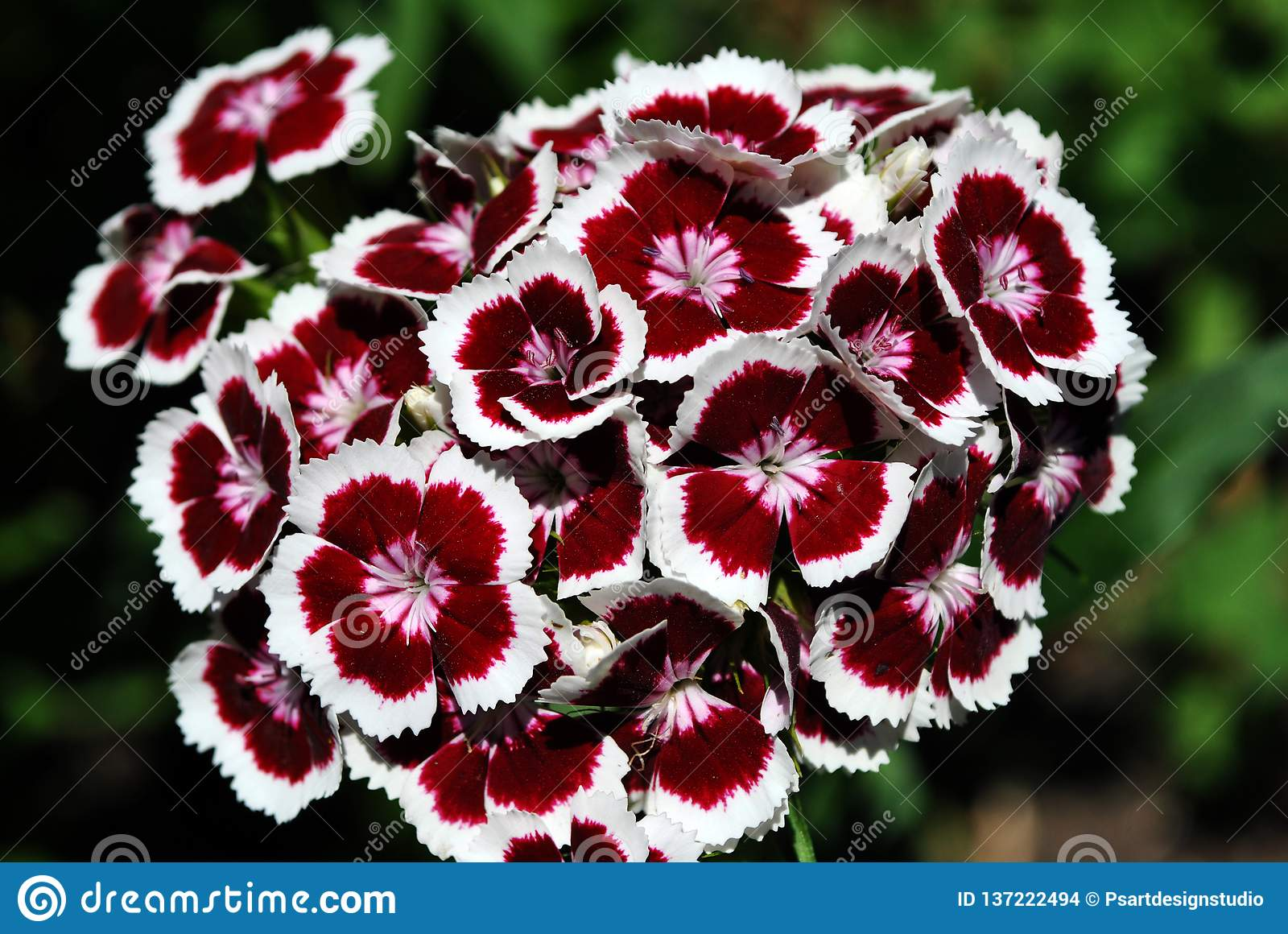 Dianthus barbatus Sweet William flowers blooming, top view, green soft background