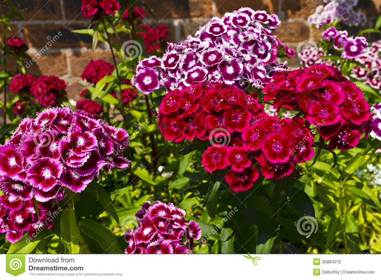 Dianthus Barbatus sweet William Flowers In A Garden Stock graphy Im