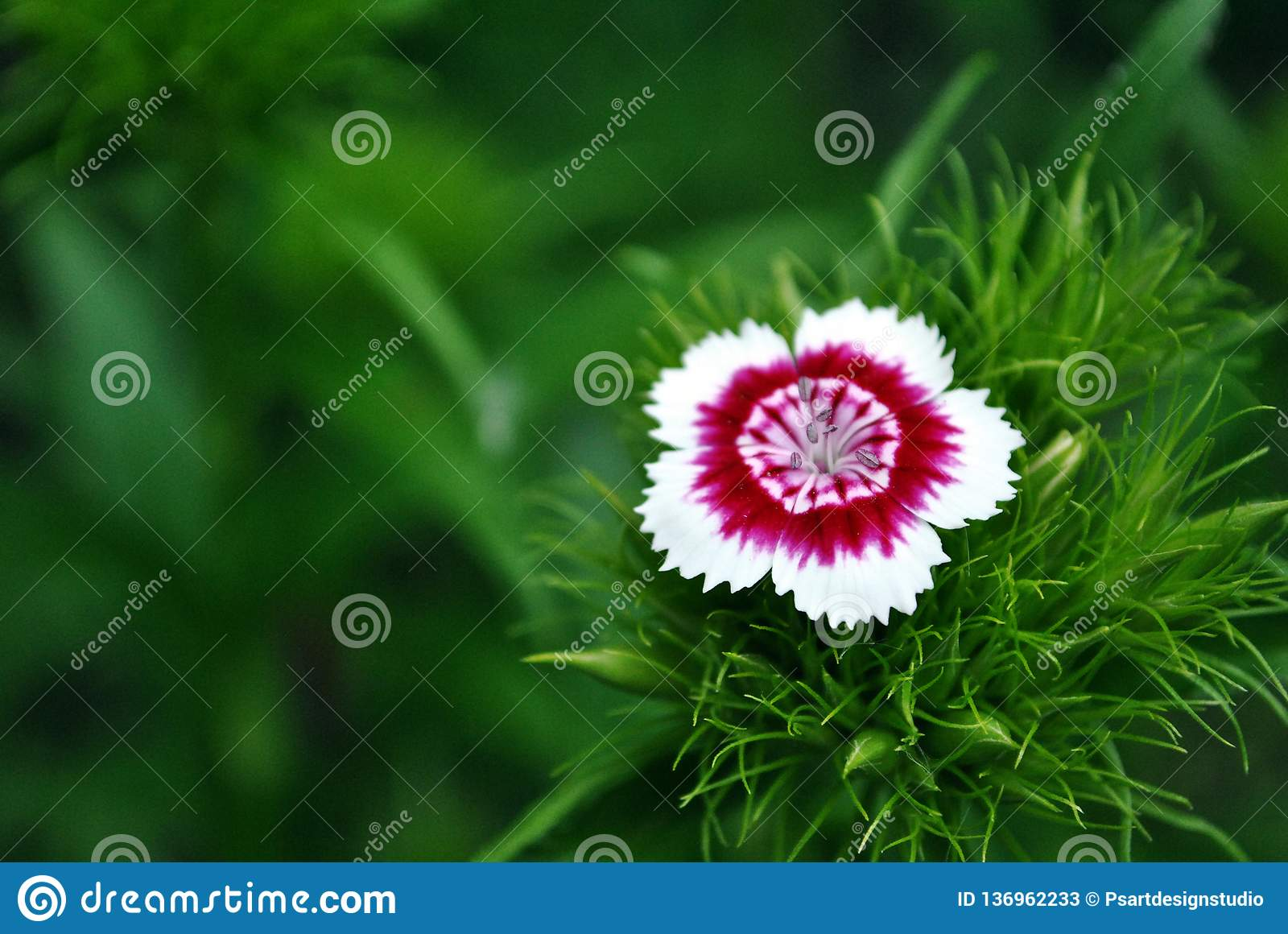 Dianthus barbatus Sweet William one flower blooming, green soft background