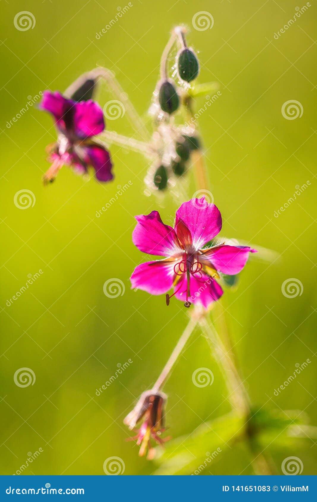 Dianthus carthusianorum, Carthusian Pink flower in macro view