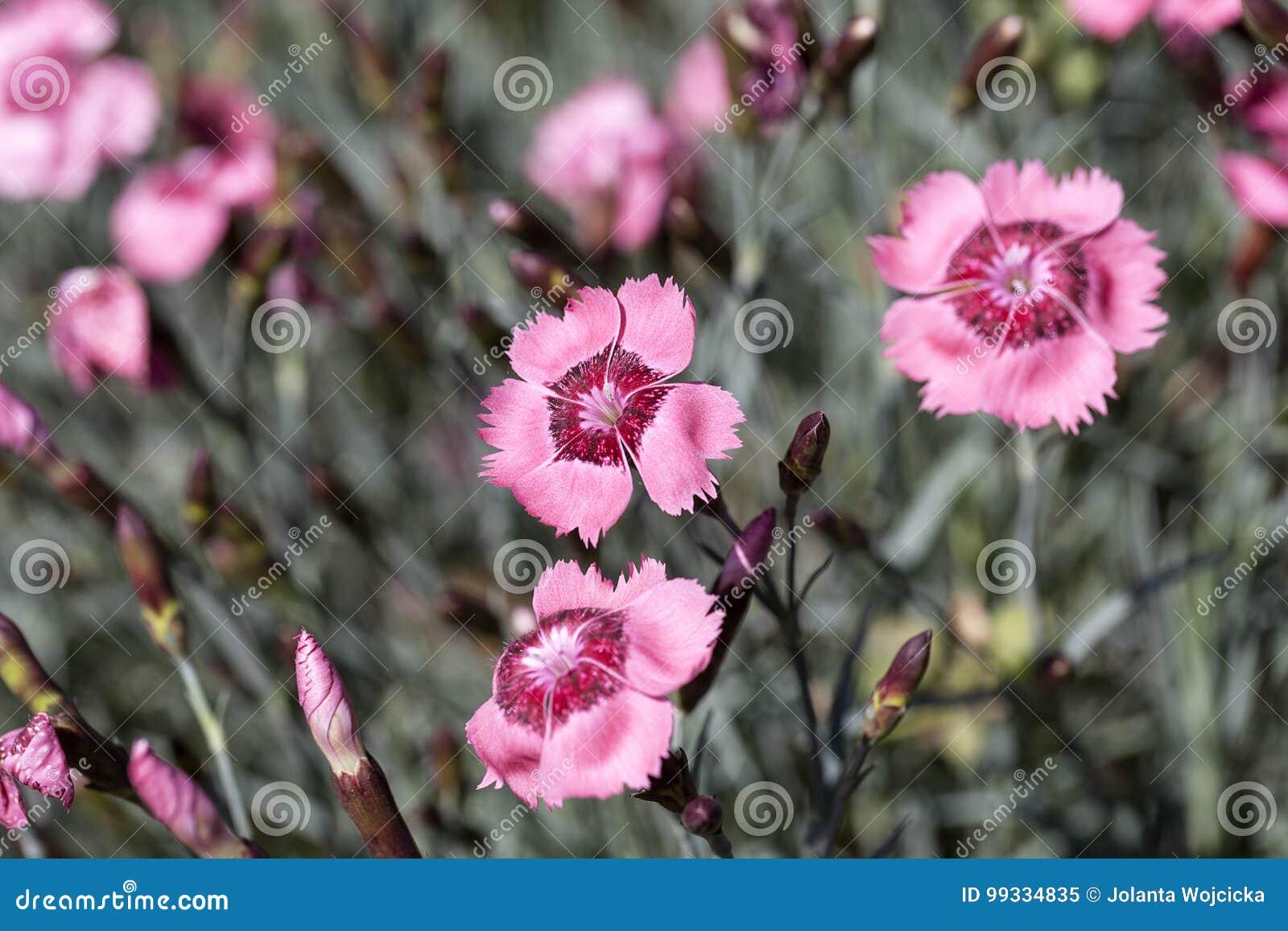 garten blumen lila, dianthus caryophyllus gartennelke, lila blumen, die im garten blühen, Design ideen