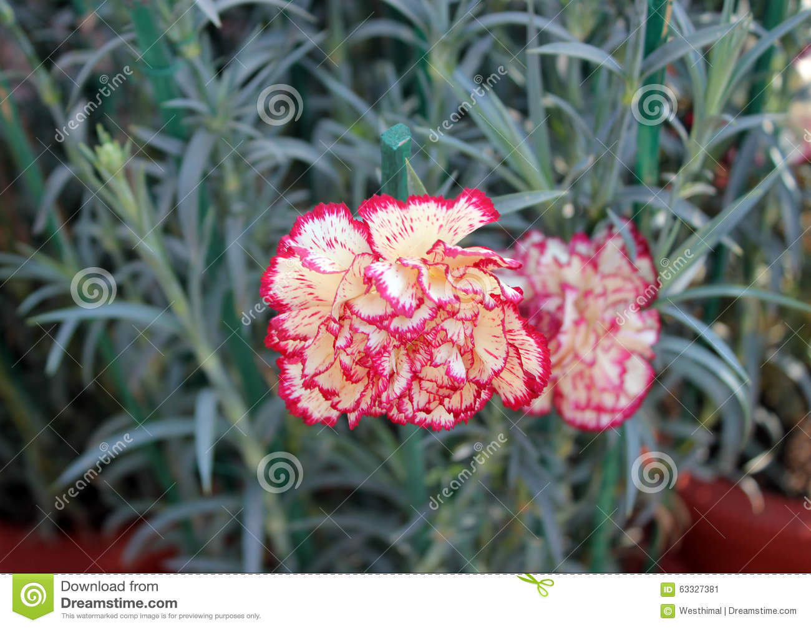 Dianthus caryophyllus Raspberry Ripple