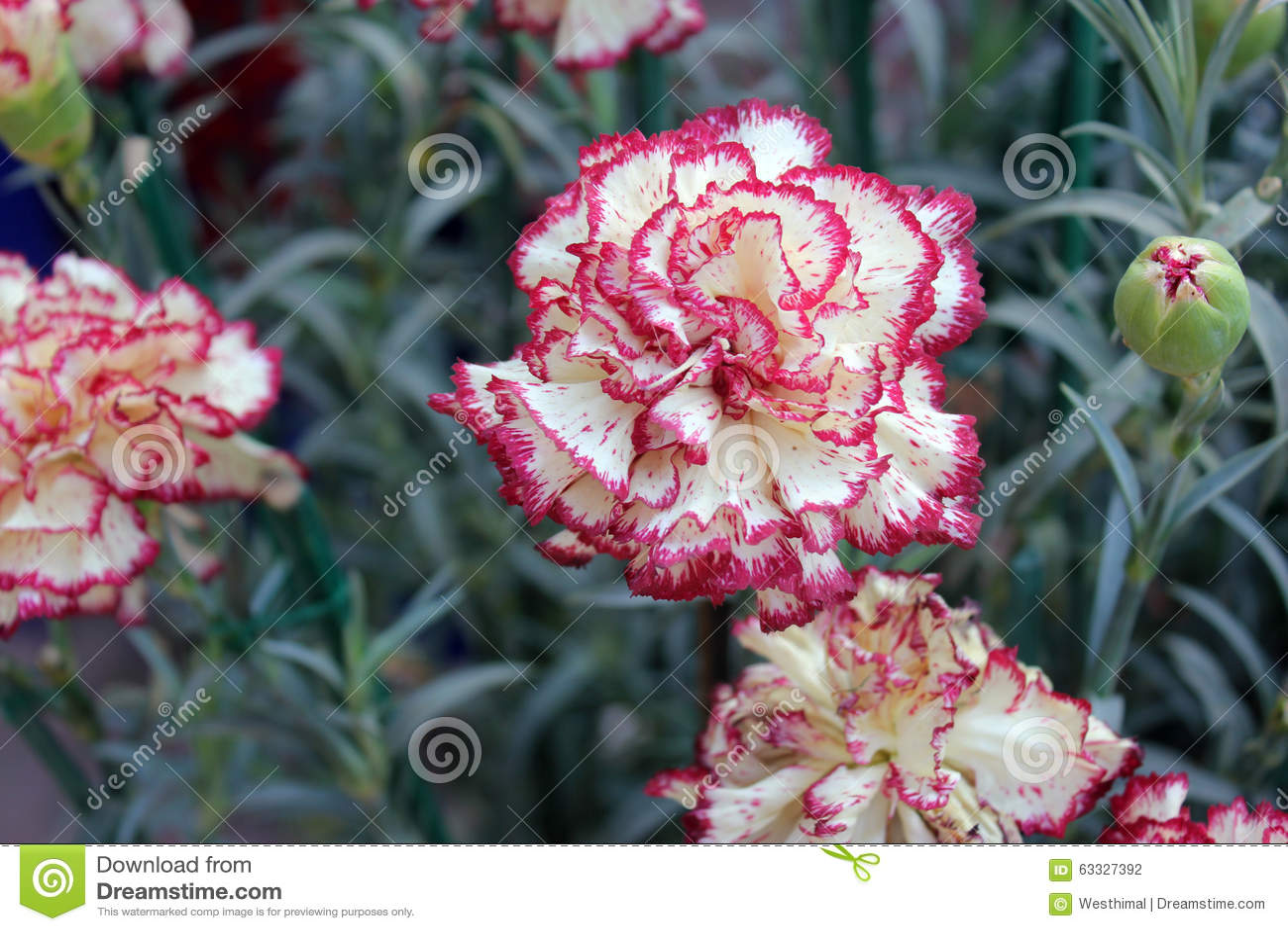 dianthus caryophyllus raspberry ripple stock photo image 63327392. Black Bedroom Furniture Sets. Home Design Ideas