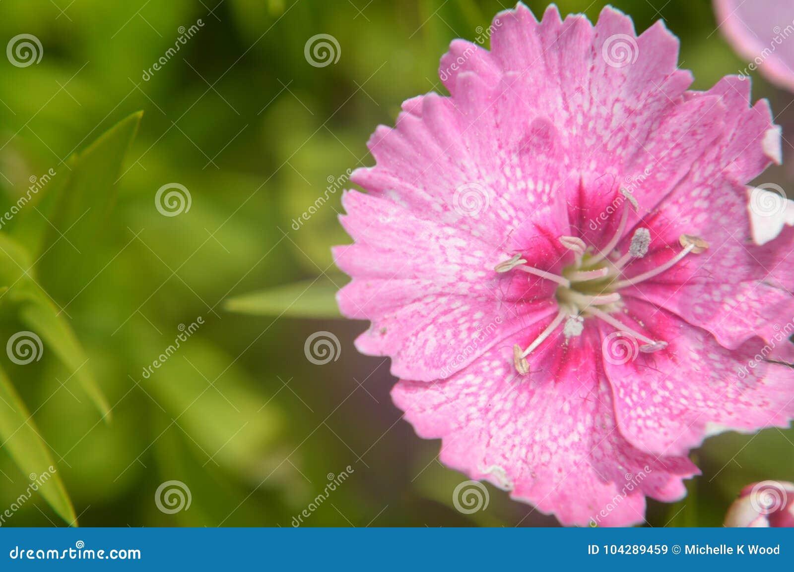 Dianthus Chinensis China Pink Closeup Stock Image Image Of