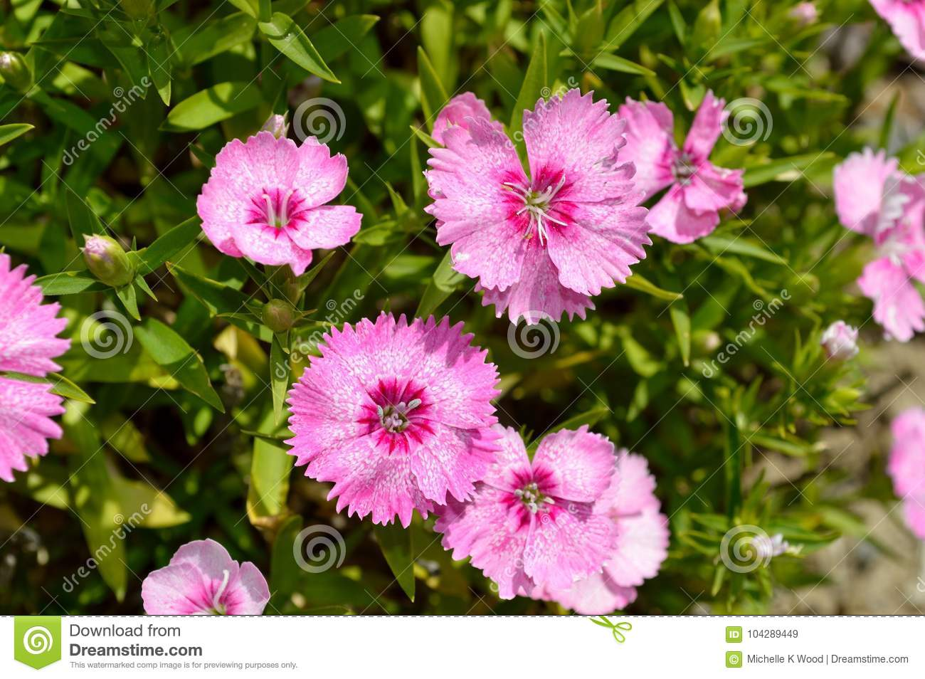 Dianthus Chinensis China Pink Stock Image Image Of Outdoors