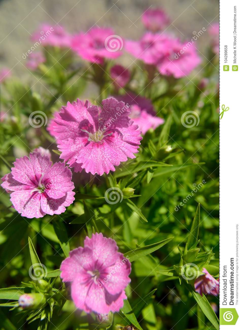 Dianthus Chinensis China Pink Stock Photo Image Of Greek Flowers