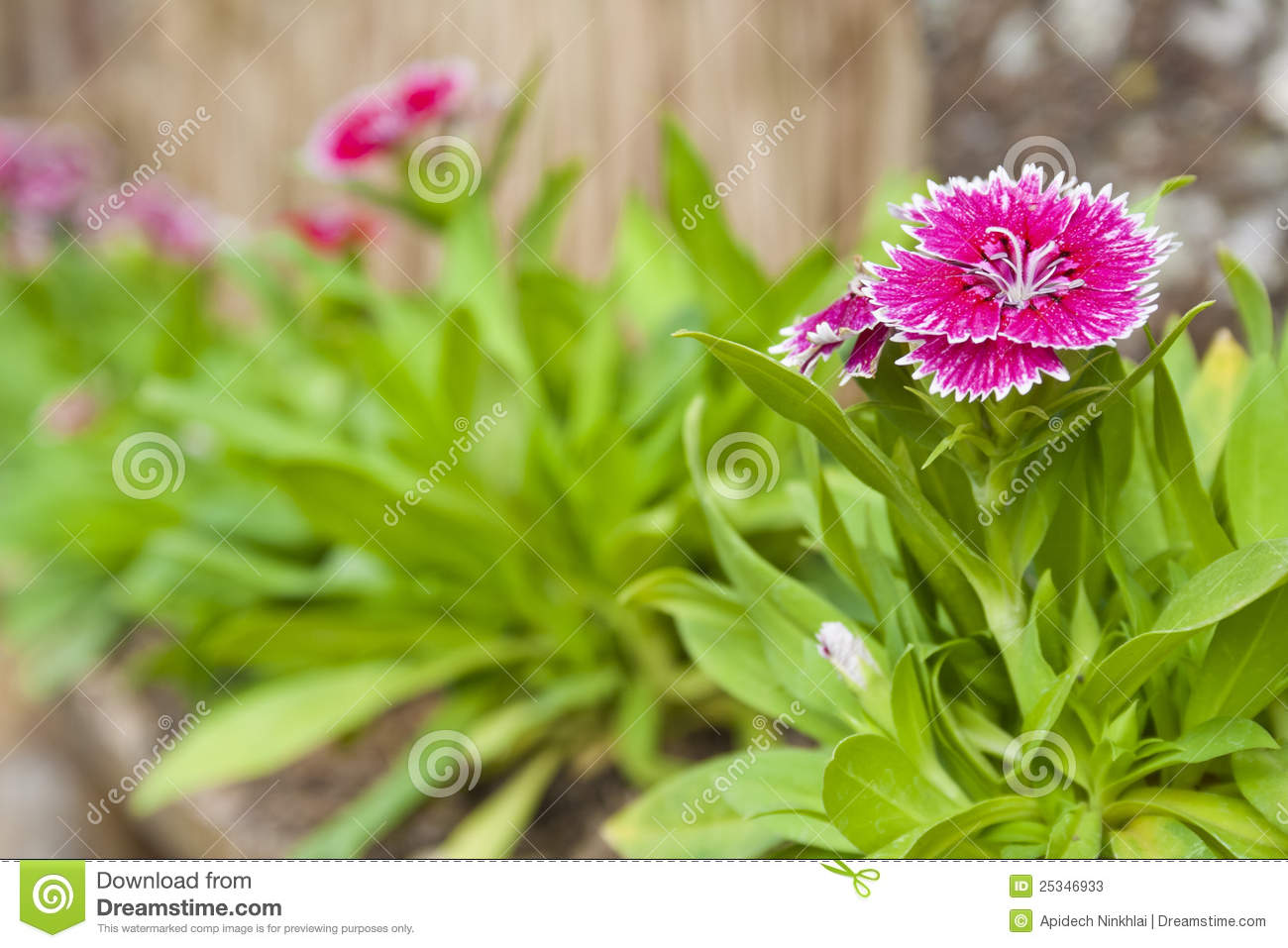 Dianthus Chinensis Or China Pink Flowers Stock Image Image Of