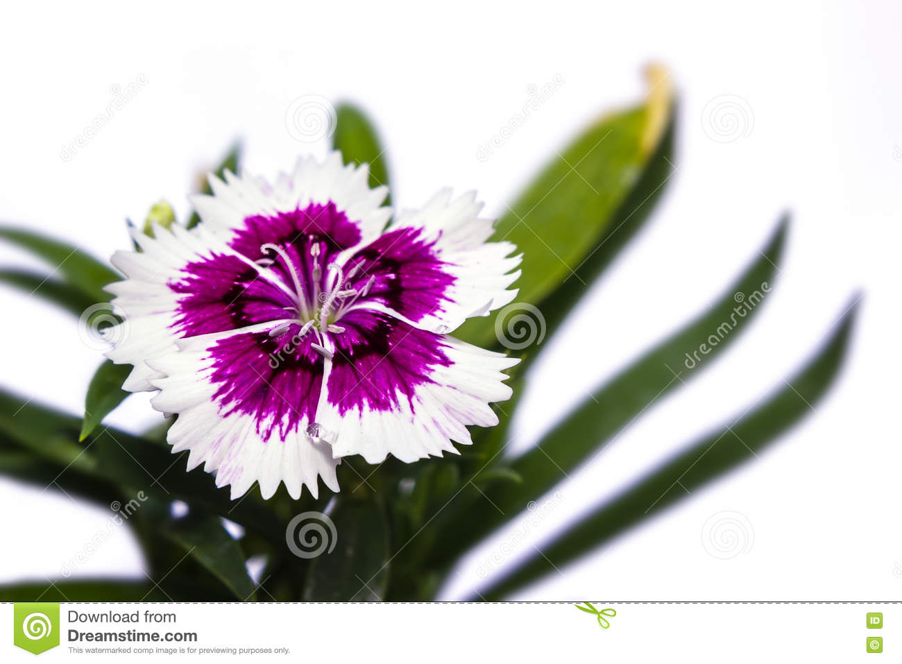 Dianthus Chinensis China Pink Flowers Stock Photo Image Of