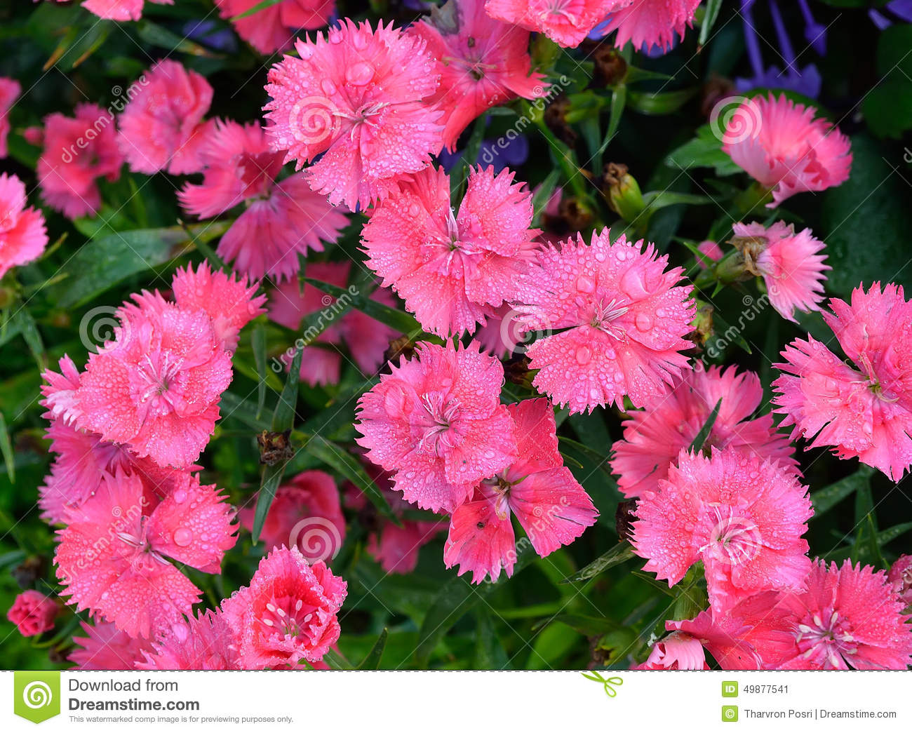 Dianthus Flower Pink Indian Pink China Pink Rainbow Pink Stock