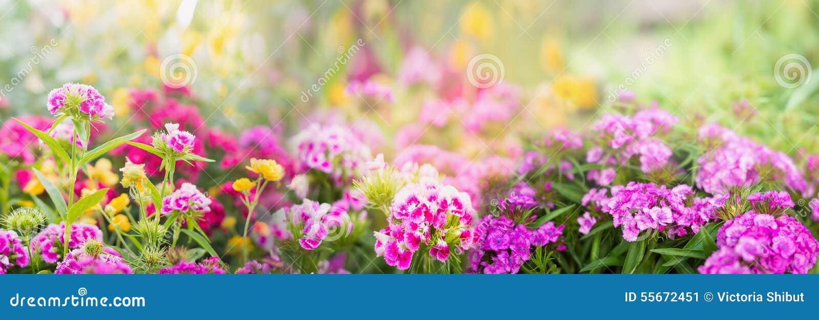 Dianthus flowers on blurred summer garden or park background, banner