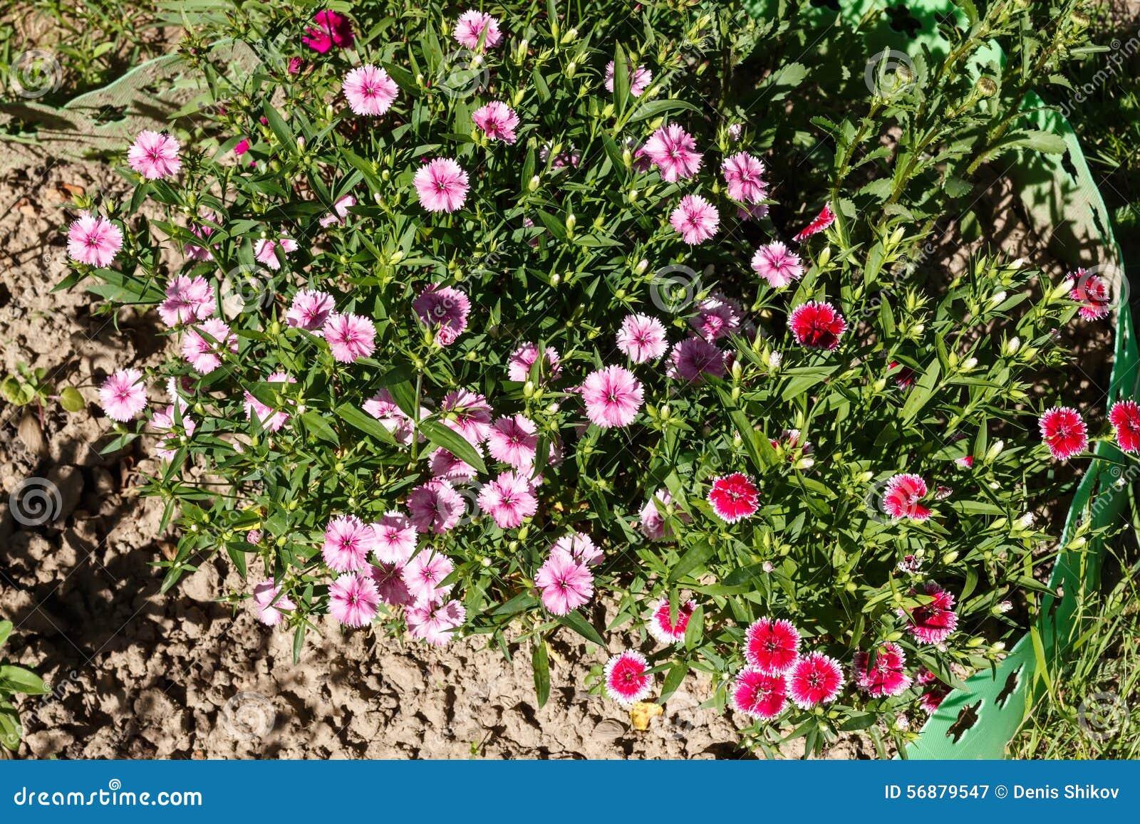 Dianthus (garofano)