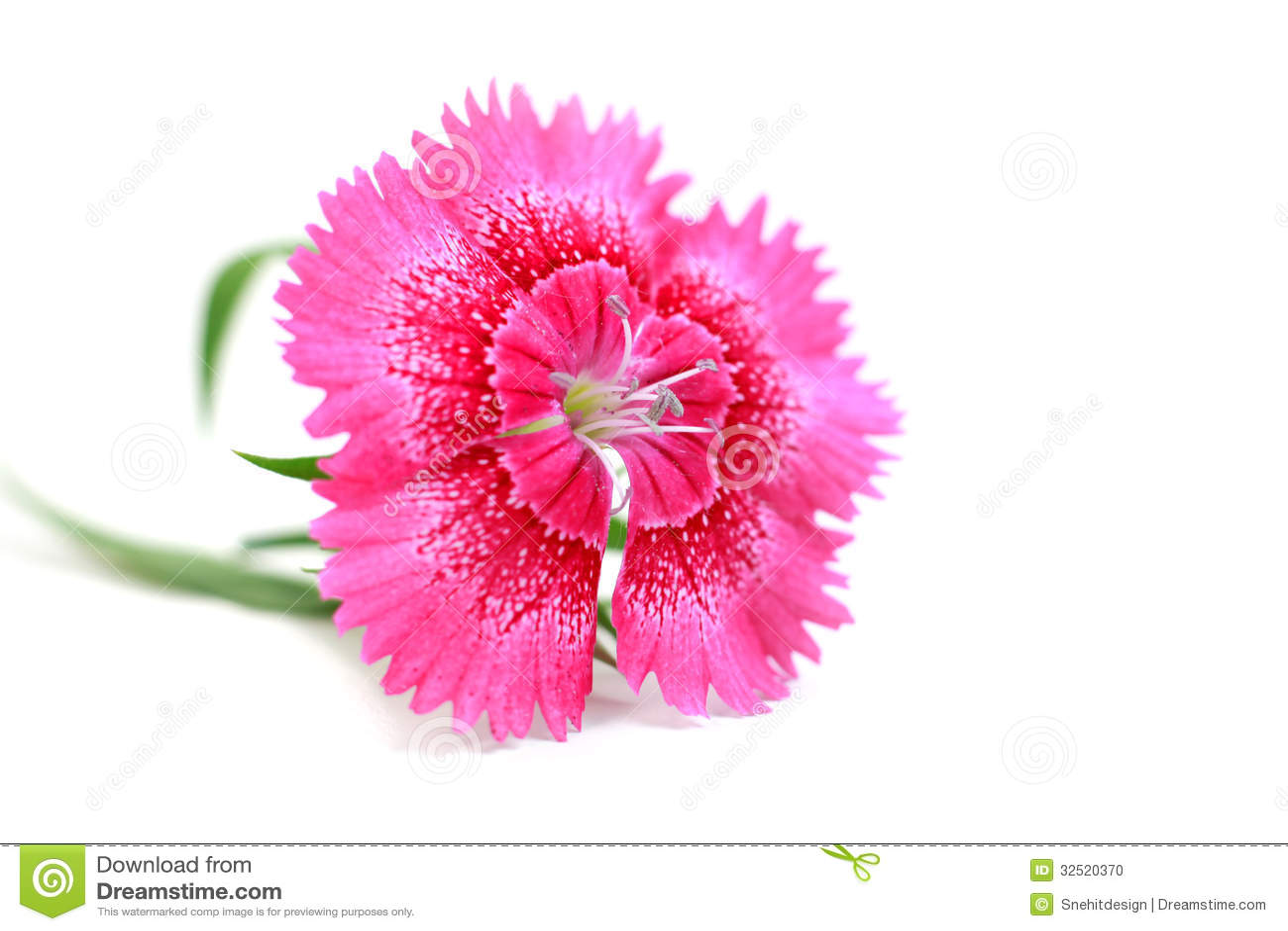 purple chrysanthemum flower