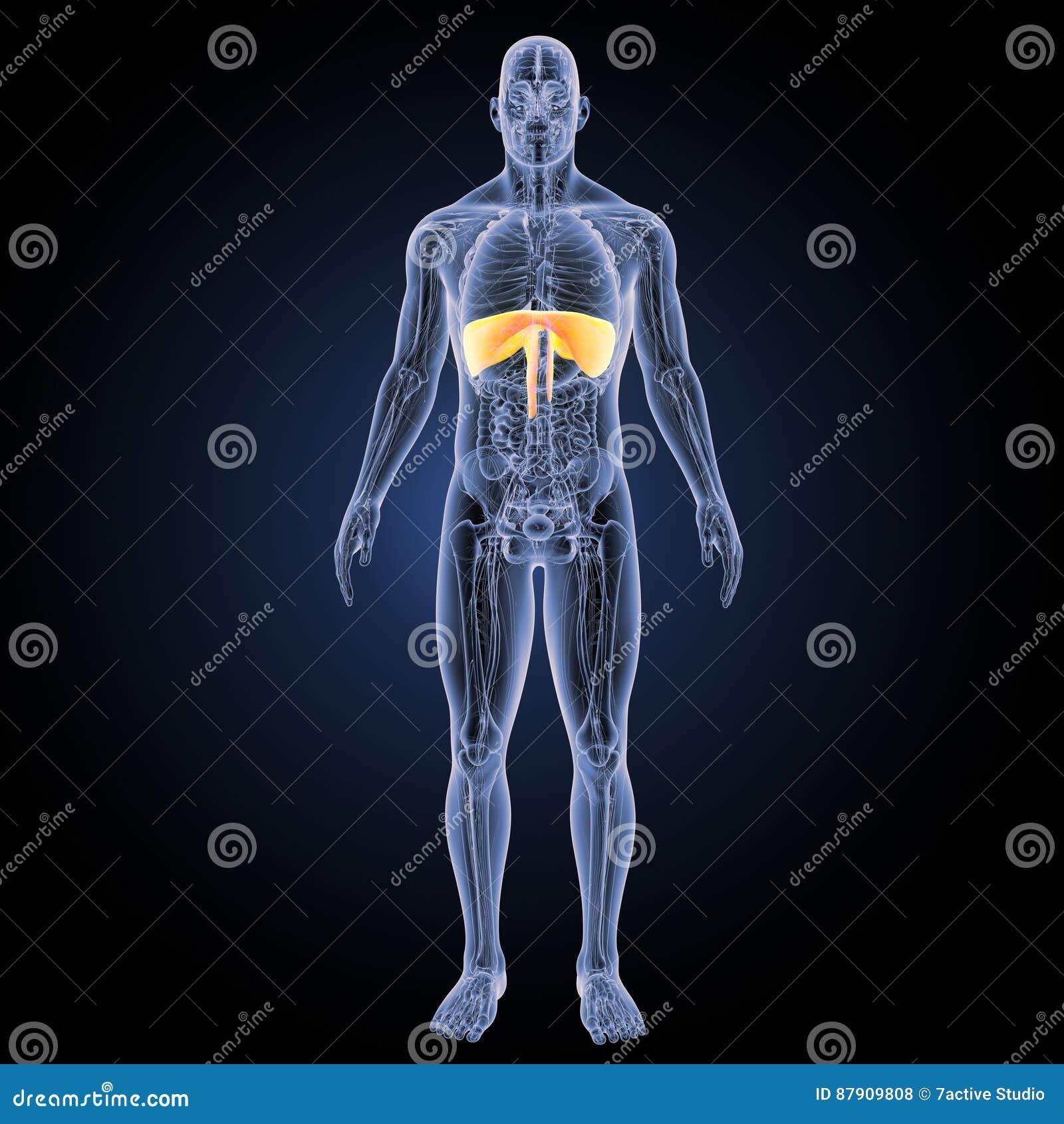 Diaphragm With Anatomy Anterior View Stock Illustration
