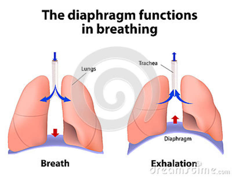 the diaphragm functions in breathing stock vector - image: 50985815, Human Body
