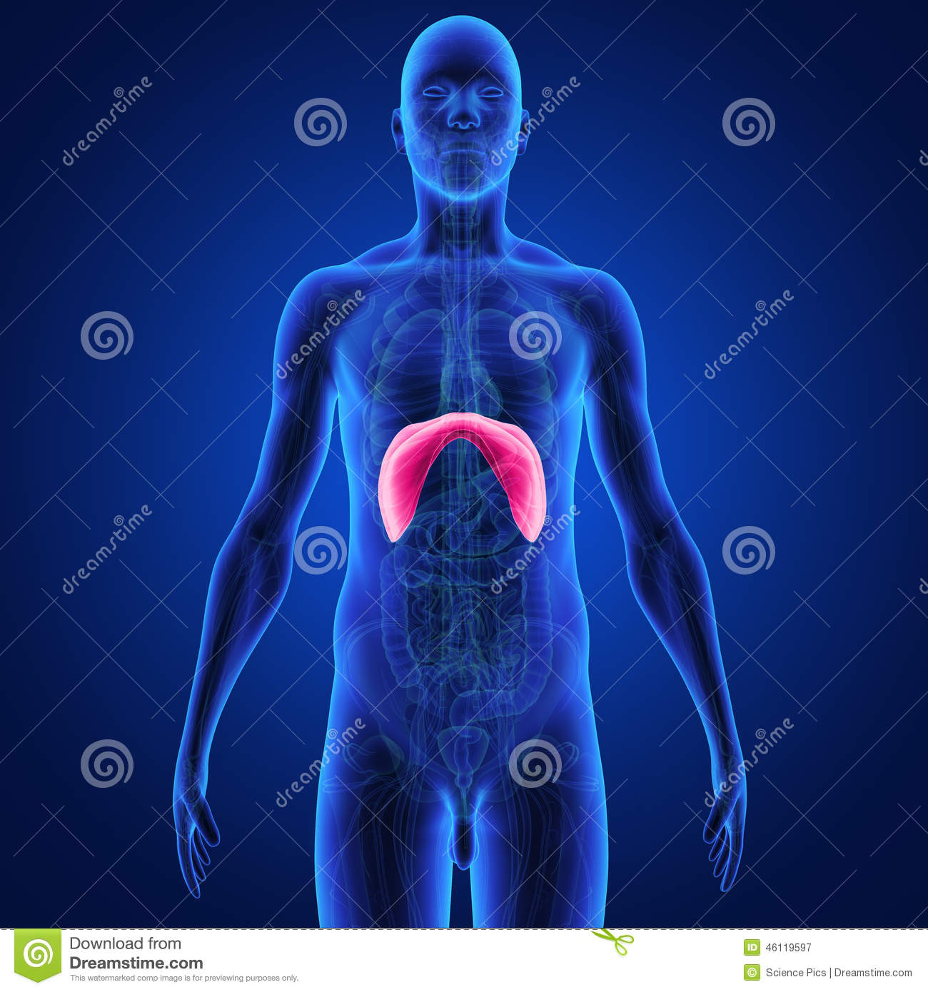 Diaphragm Stock Illustration Illustration Of Human Background