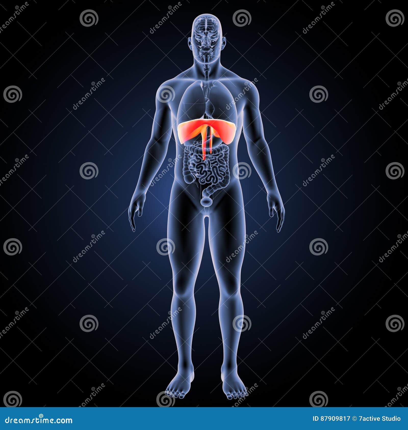 Diaphragm With Organs Anterior View Stock Illustration ...