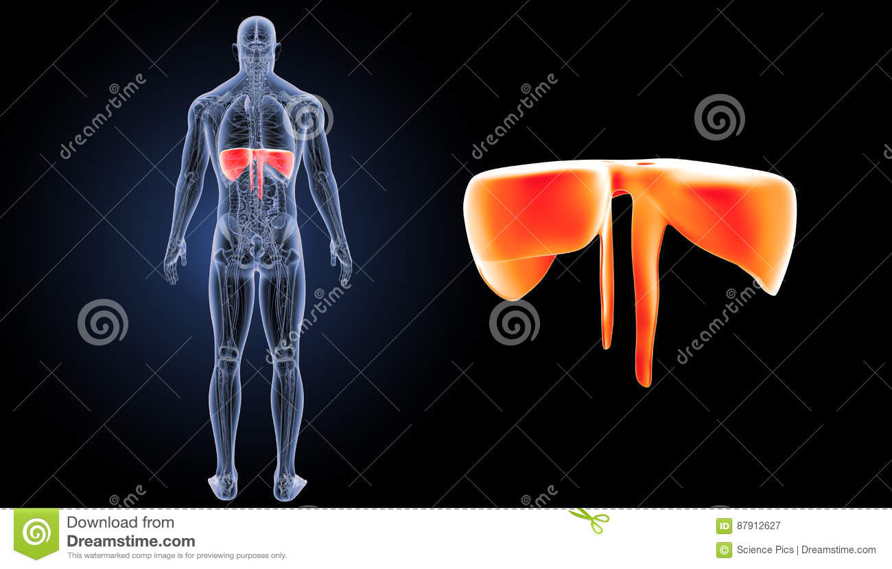 Diaphragm Zoom With Anatomy Posterior View Stock Illustration