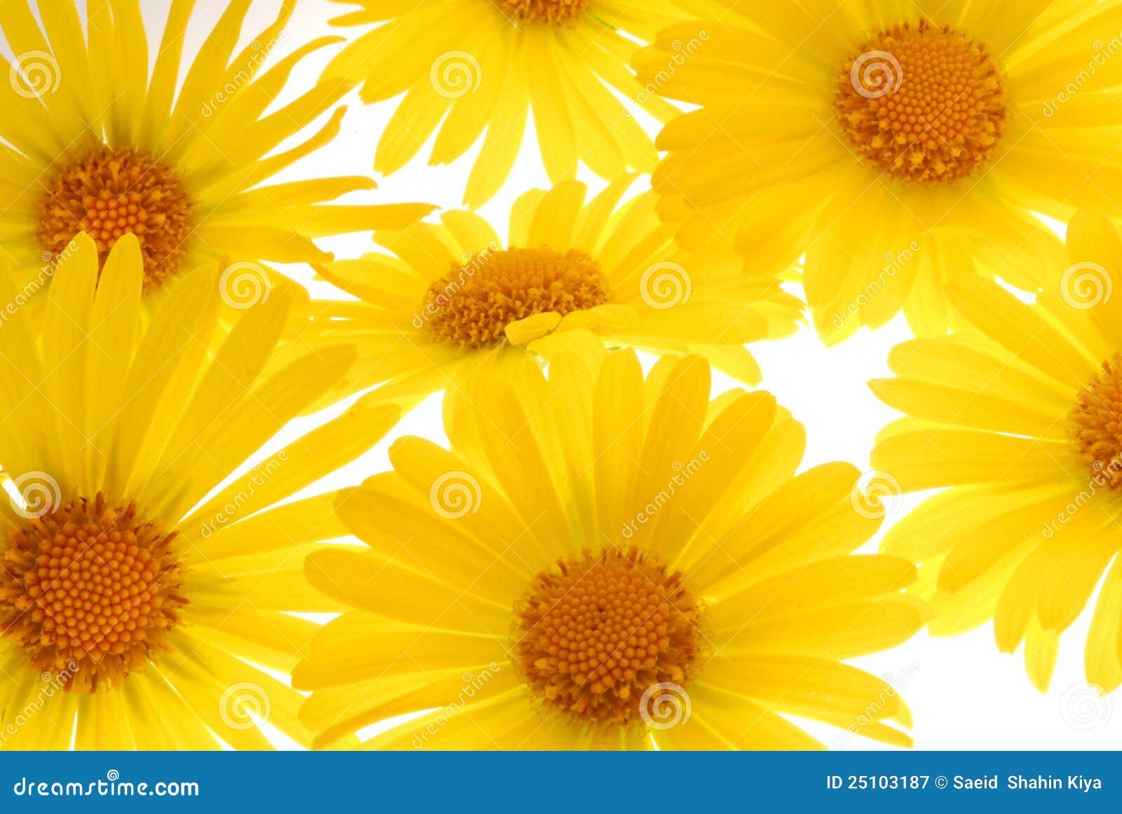 Diasy amarelo