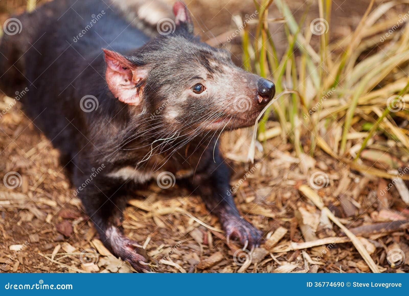 Diavolo tasmaniano