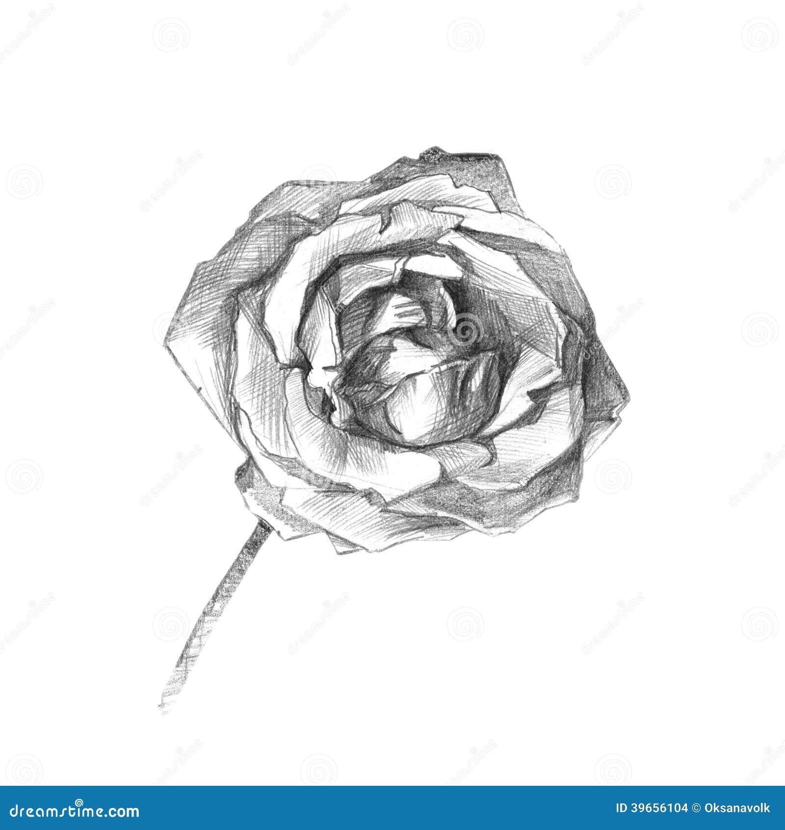 Dibujo Artistico Del Carbon De Lena Color De Rosa Hermoso Stock De