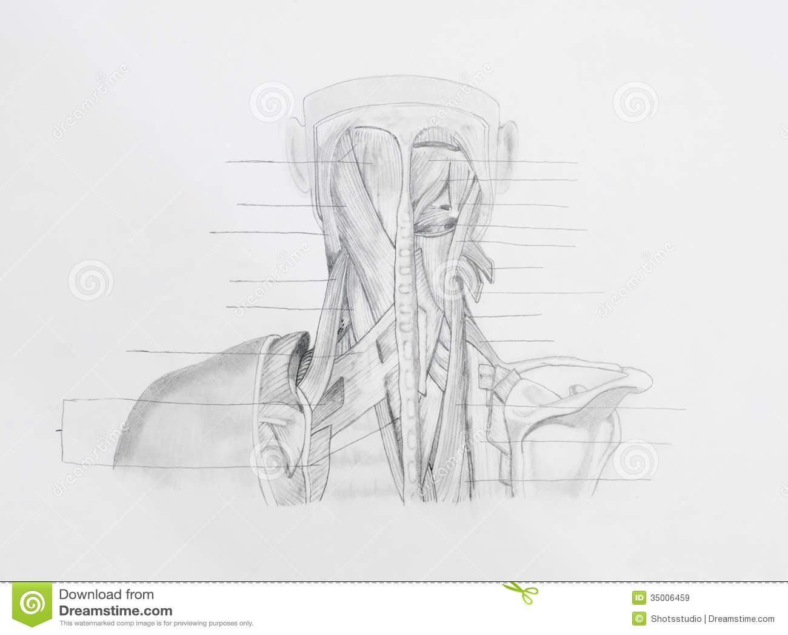 Dibujo De Lápiz De Los Músculos Traseros Del Cuello Imagen de ...