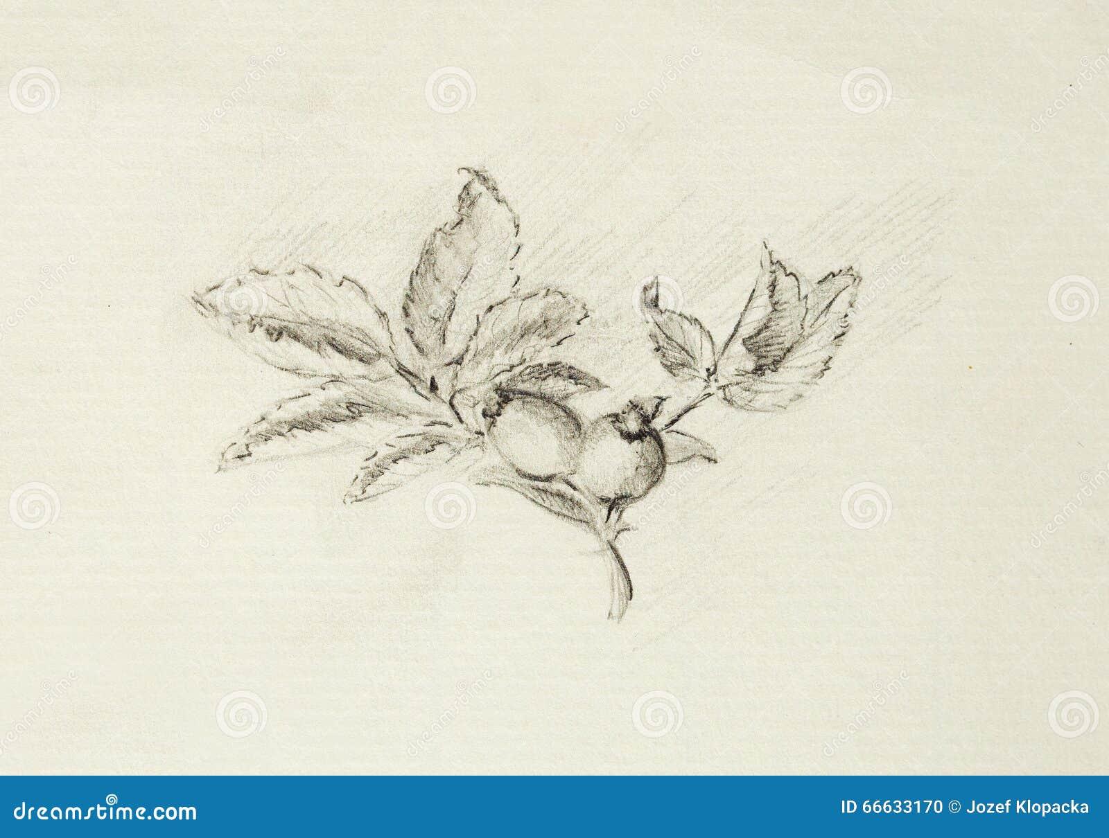 Dibujo De Lápiz En El Papel Viejo Rose Nombre Latino Canina De