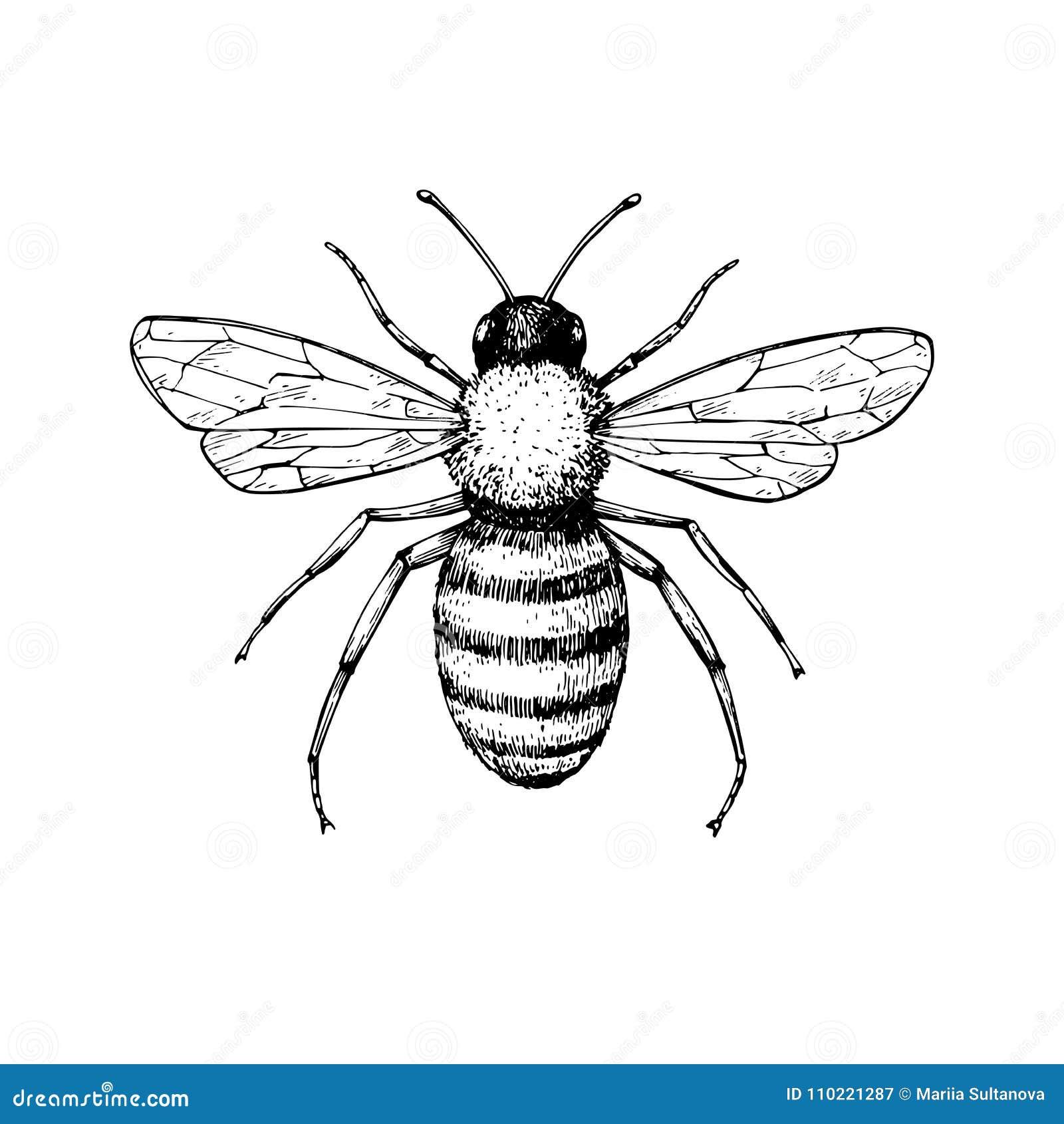 Dibujo del vector del vintage de la abeja de la miel Ske aislado dibujado mano del insecto