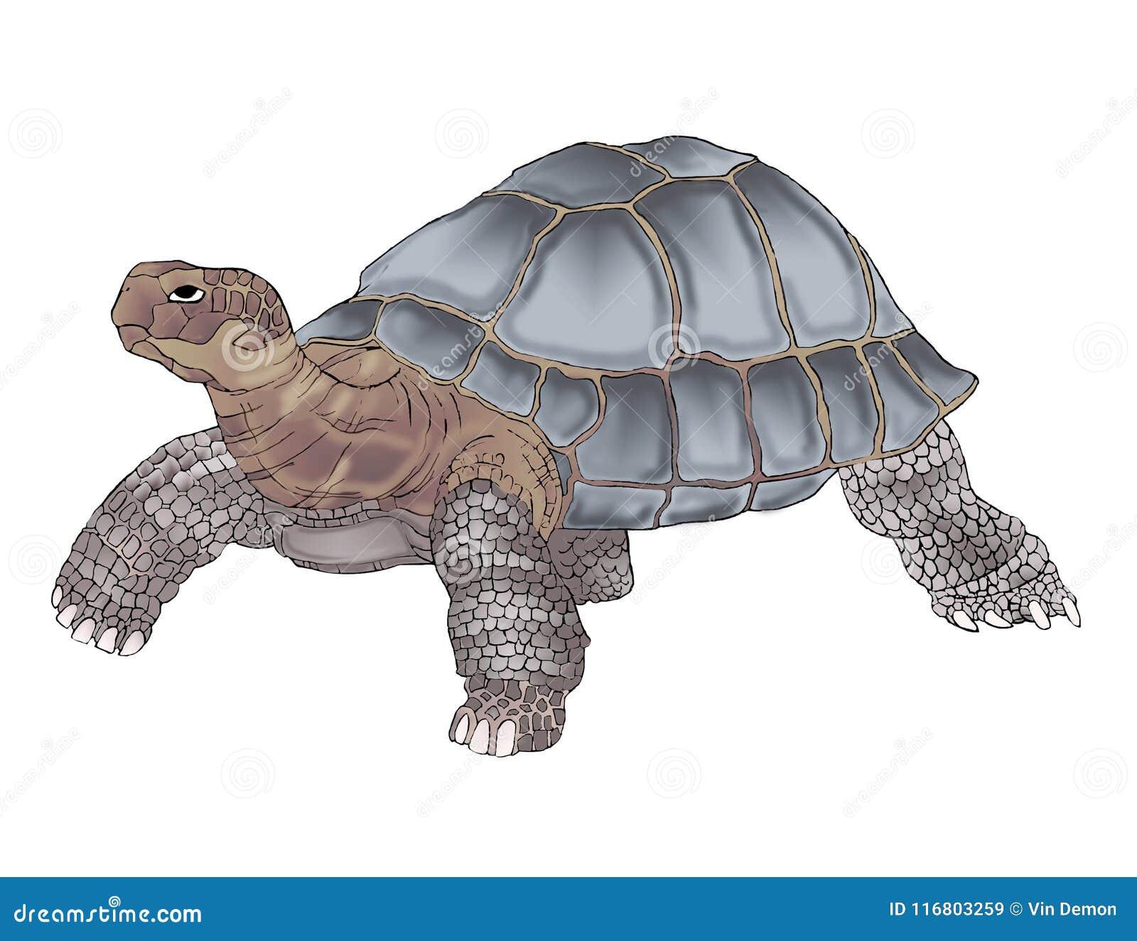 Dibujo Detallado De La Tortuga De Las Islas Galápagos En Color Stock