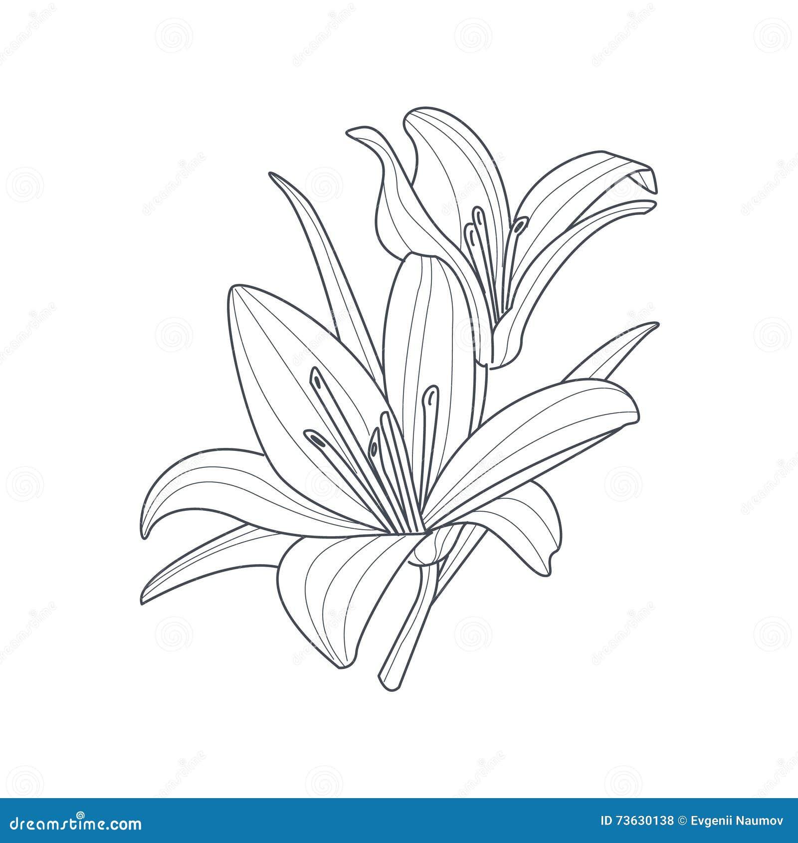 Dibujo Monocromático De La Flor De Dos Lirios Para El Libro De