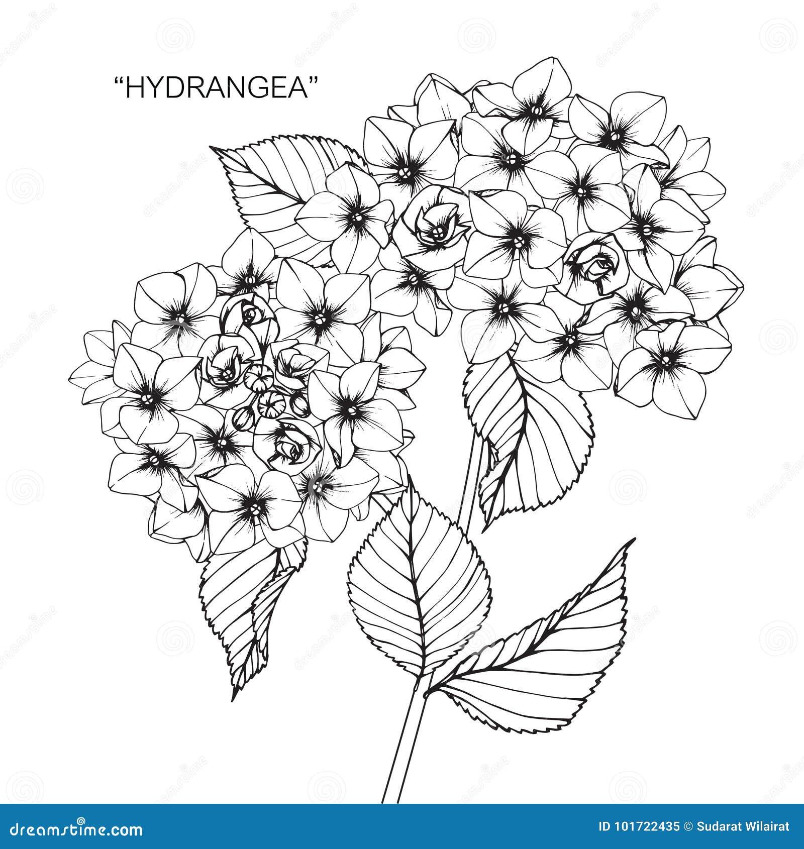 Dibujo Y Bosquejo De La Flor De La Hortensia Stock De Ilustracion