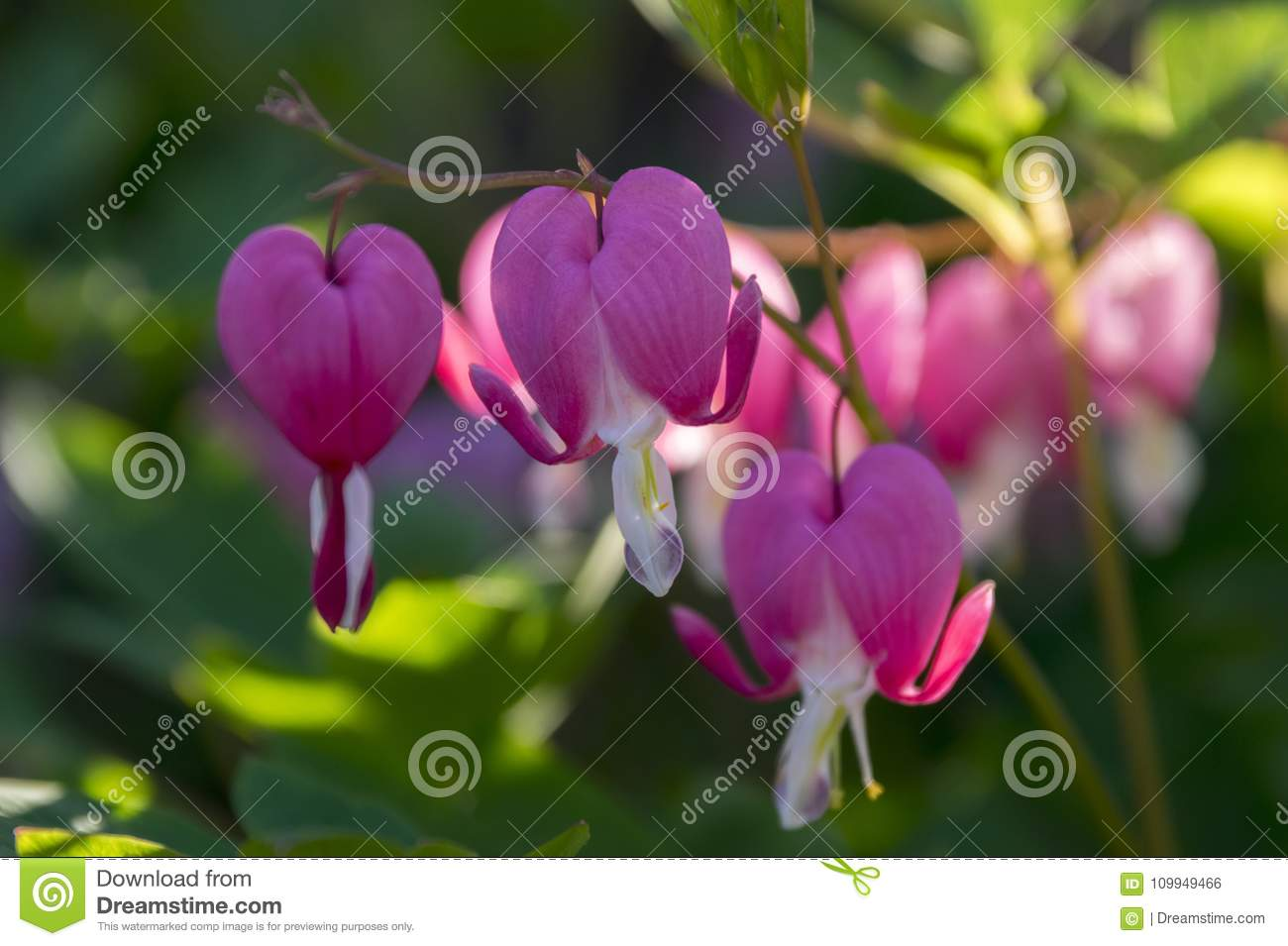 Dicentra spectabilis asian bleeding hearts heart shaped flowers dicentra spectabilis asian bleeding hearts heart shaped flowers springtime sunlight group of pink a and white flowers ornamental plant mightylinksfo