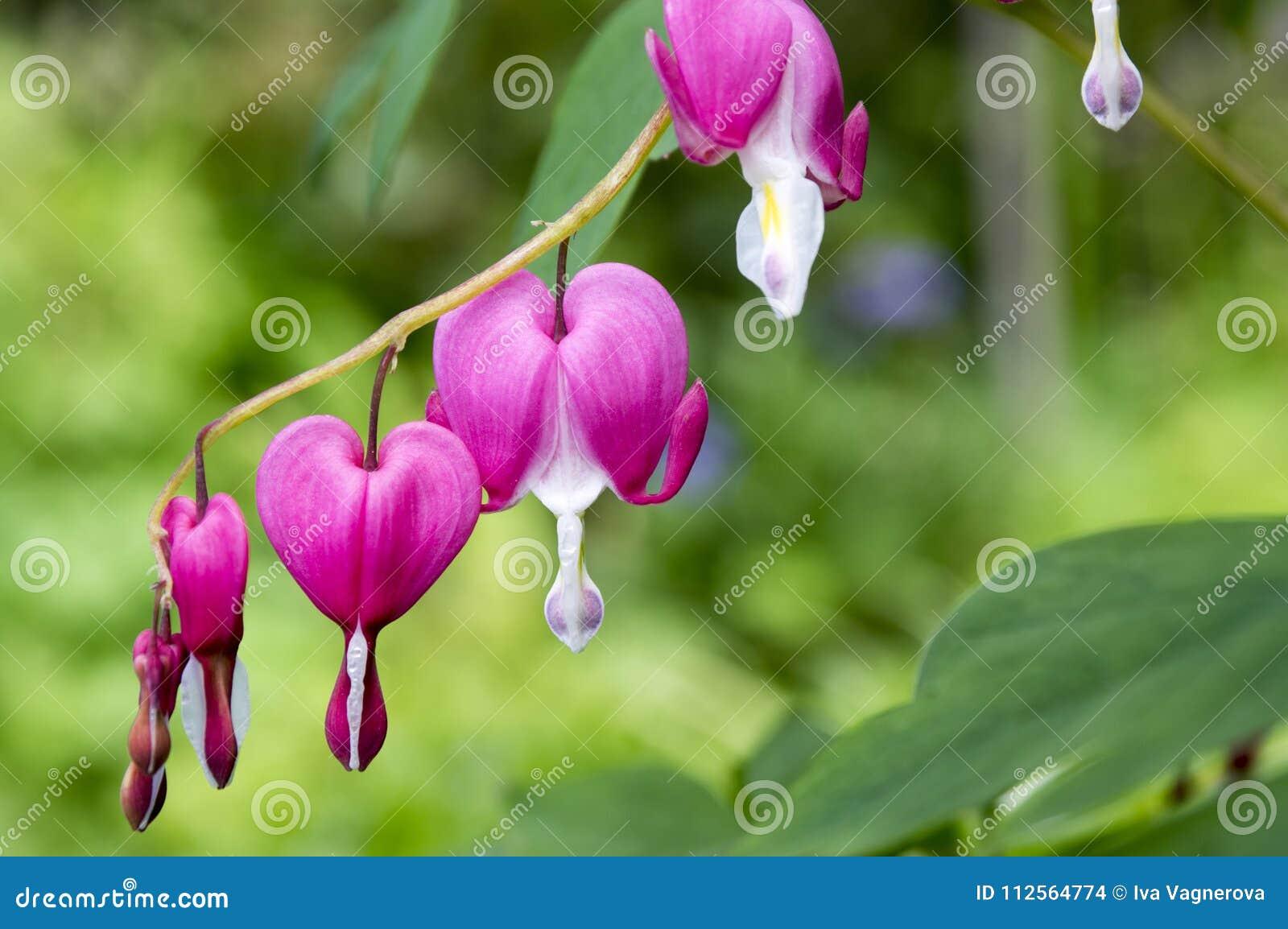Dicentra Spectabilis Asian Bleeding Hearts Heart Shaped Flowers