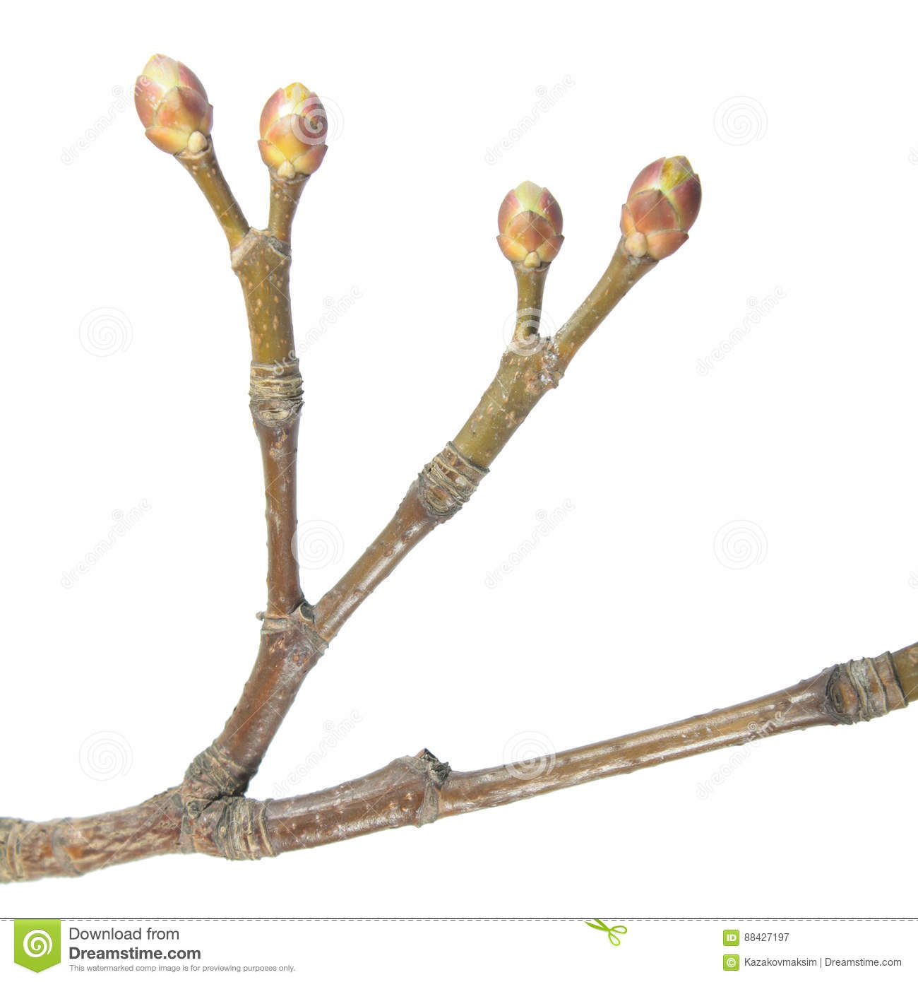 Dichotomous branching. Spring tree branch on white background