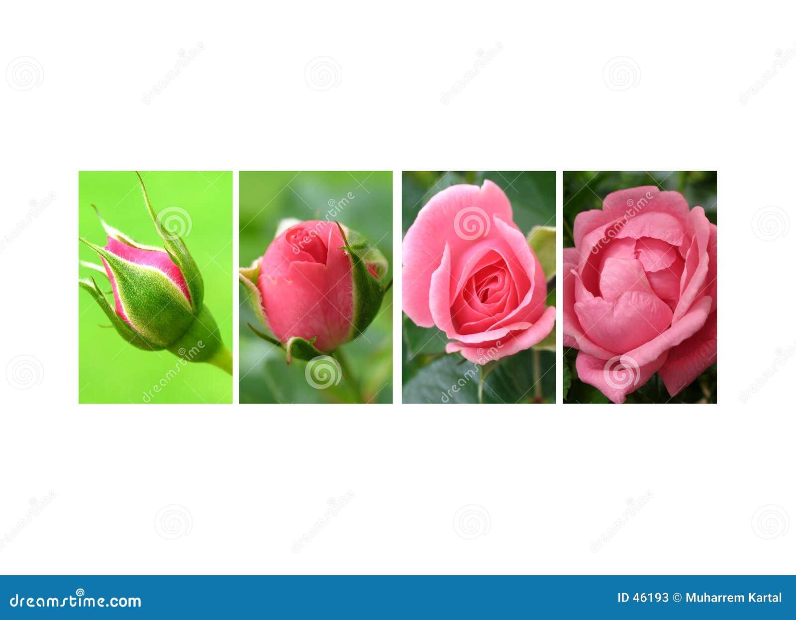 Dichte der Rosen