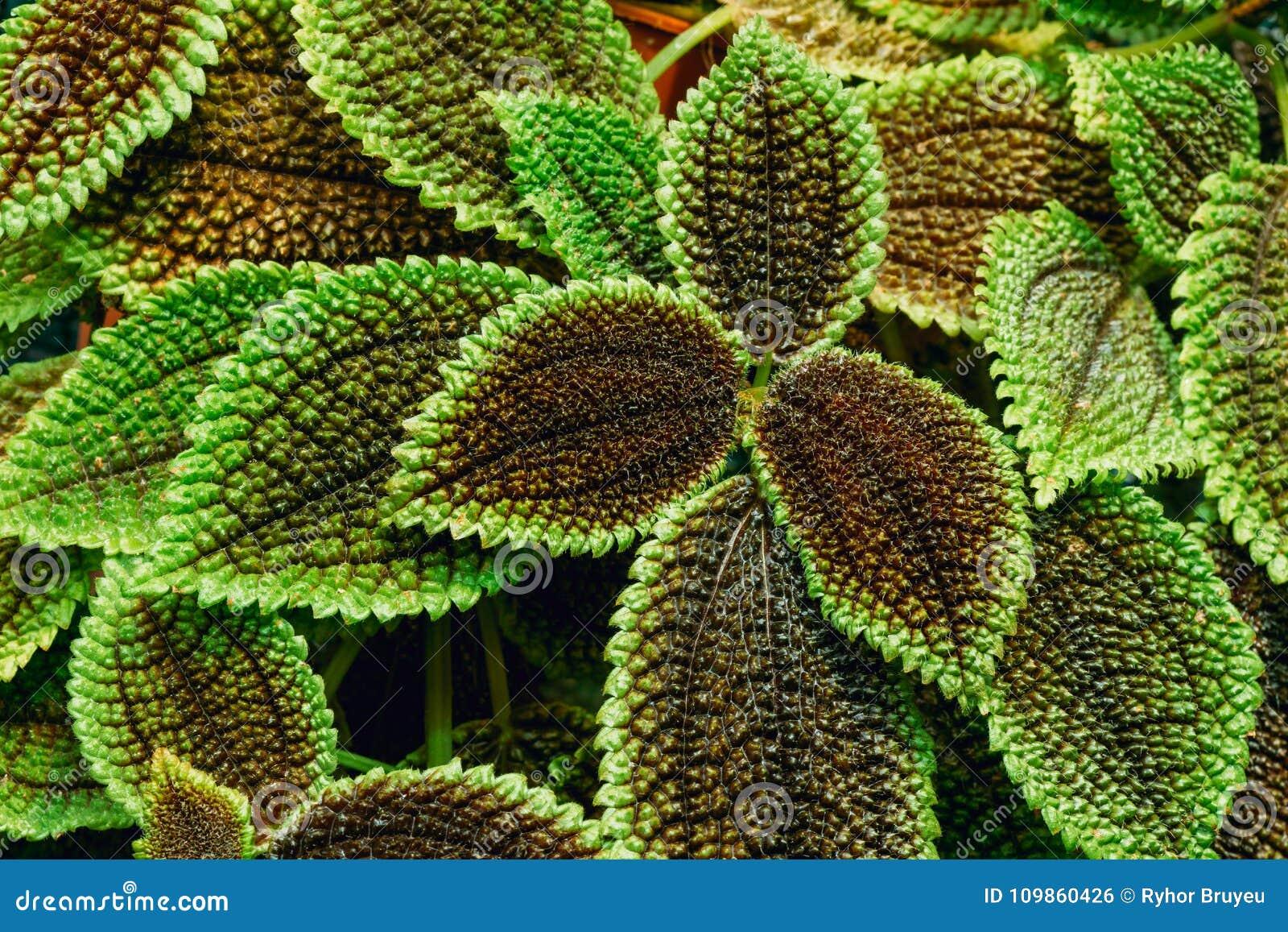 Dichte Mening van Groene Pilea Crassifolia in Botanische Tuin