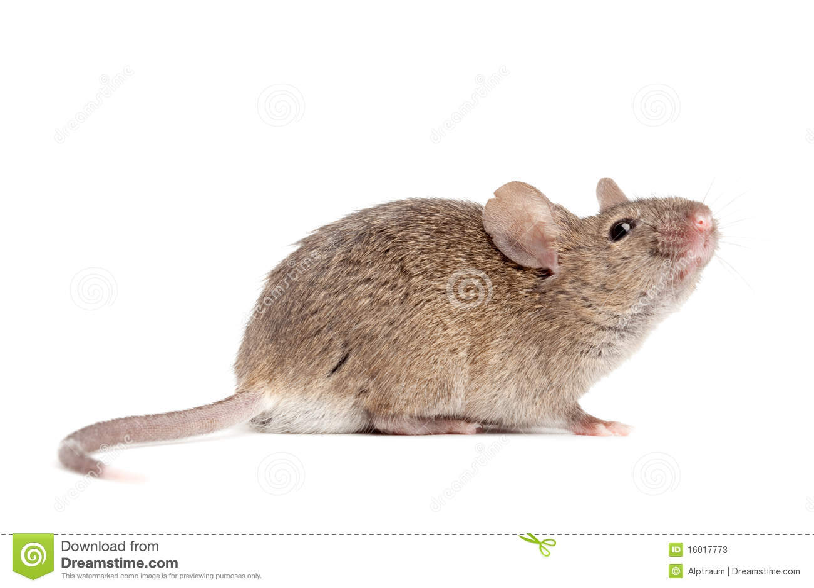 Dichte omhooggaand van de muis geïsoleerdw op wit