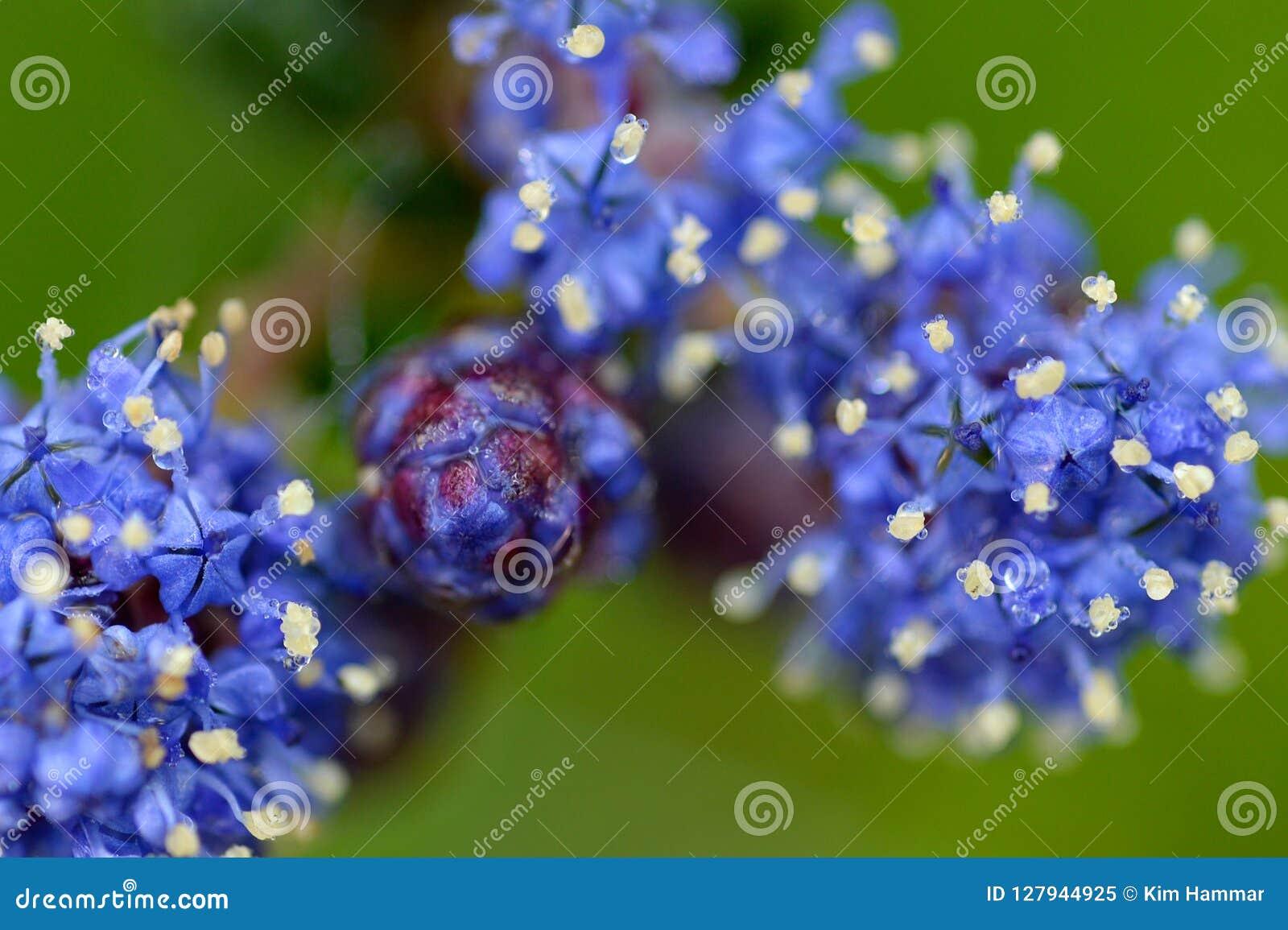 Dichte omhooggaand van het bloeien Ceanothus bloeit