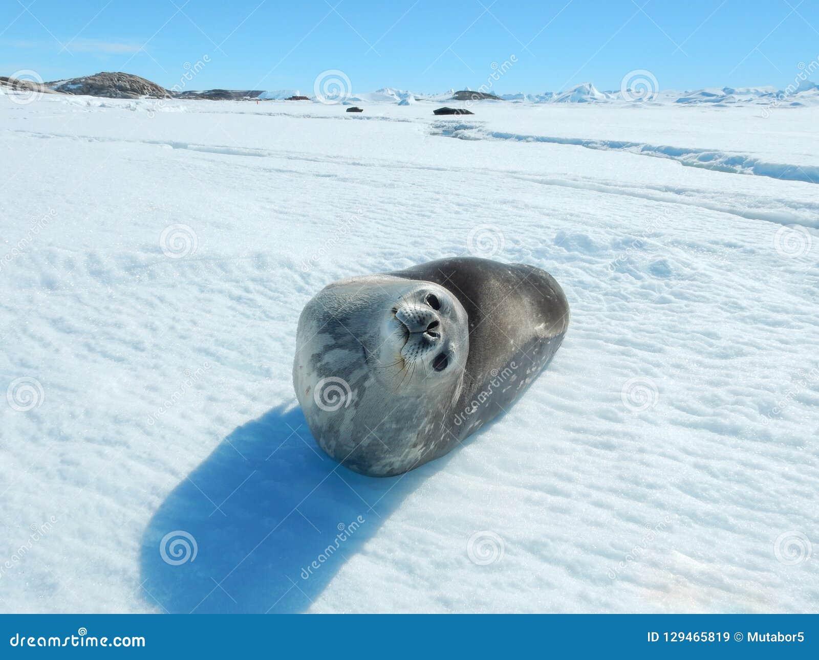 Dichtung - Ringelrobbe Pusa-hispida, liegend im Schnee an einem sonnigen Tag und betrachten die Kamera