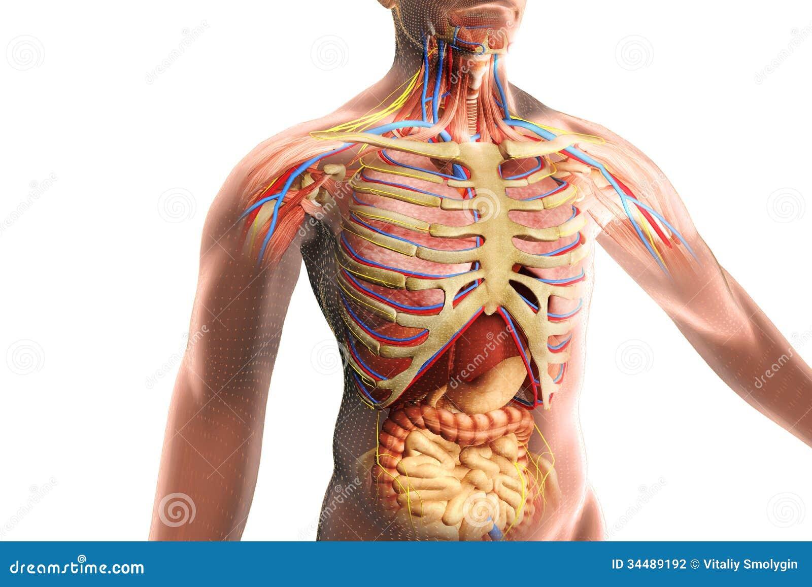 Die Anatomie Des Menschlichen Körpers Stock Abbildung - Illustration ...