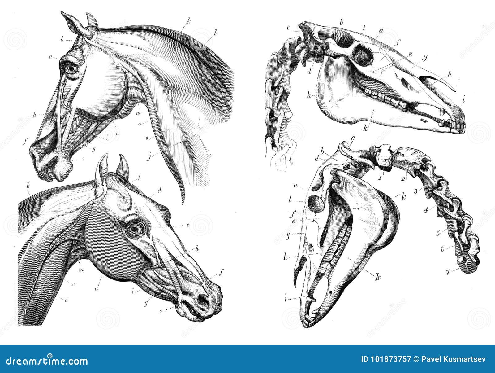 Die Anatomie des Pferds stock abbildung. Illustration von säugetier ...