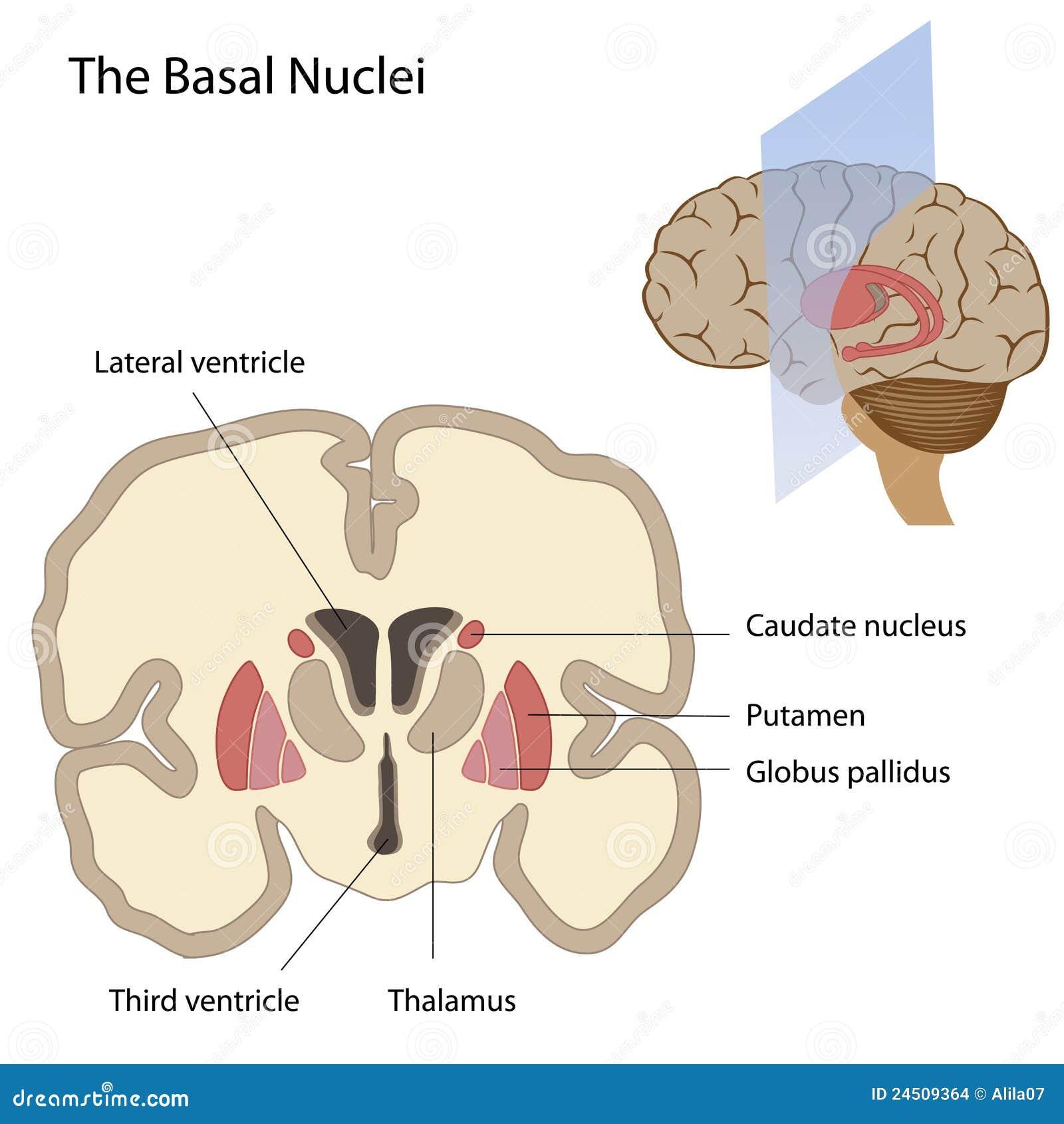 Querschnitt Des Gehirns Die Basalganglien Und Den Hypothalamus ...