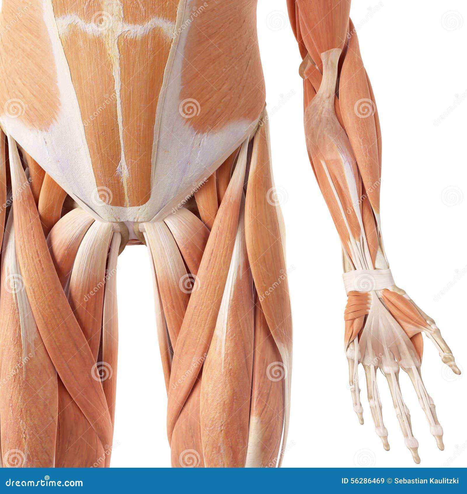 Die Hüften- Und Beinmuskeln Stock Abbildung - Illustration von ...