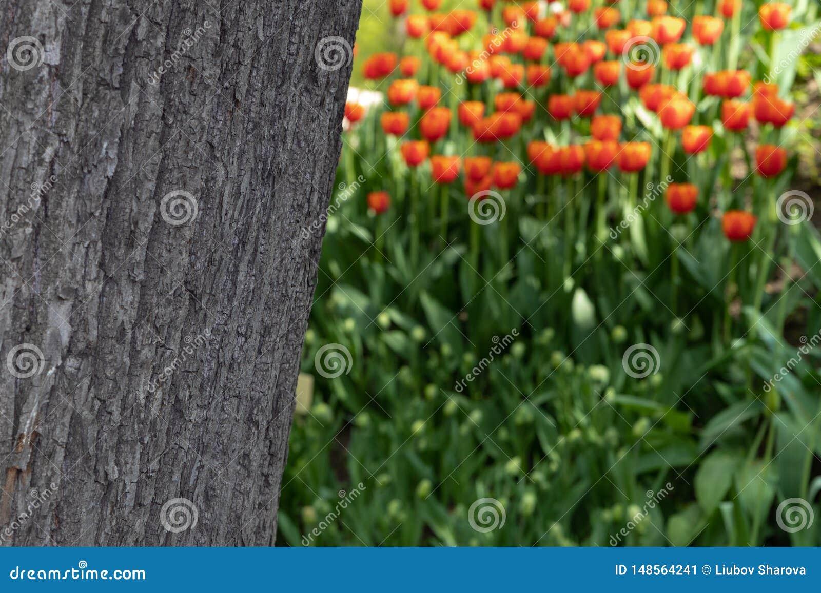 Die Beschaffenheit der Baumrinde auf einem unscharfen Hintergrund von orange Tulpen